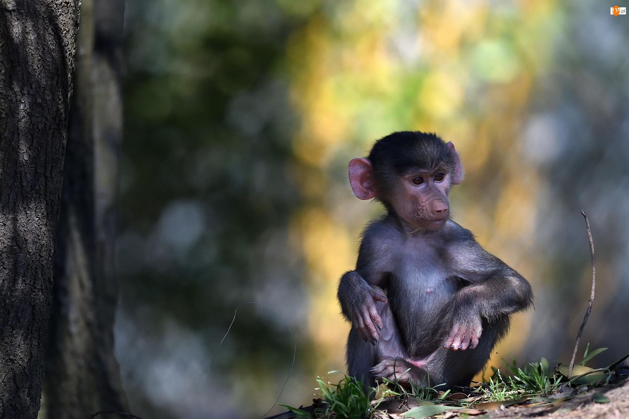 Małpa, Pawian