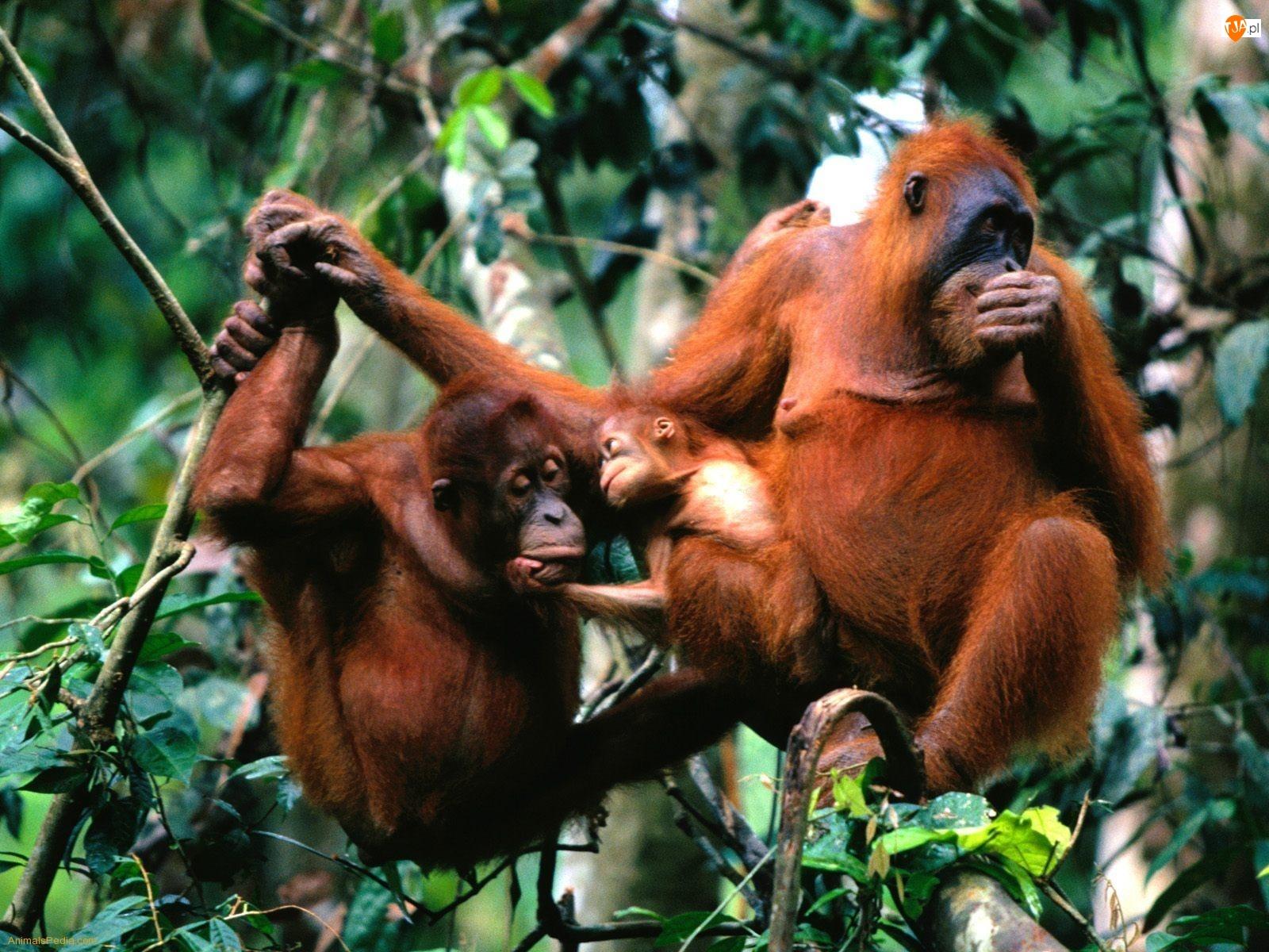 Gałęzie, Trzy, Orangutany