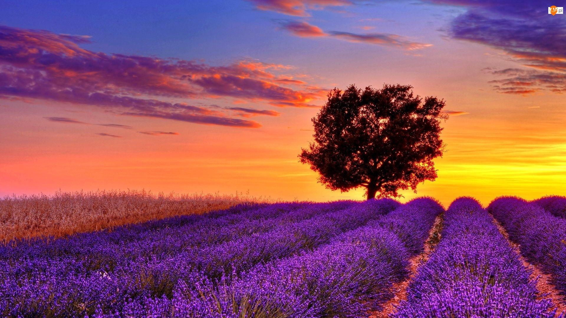 Lawenda, Słońca, Drzewo, Zachód