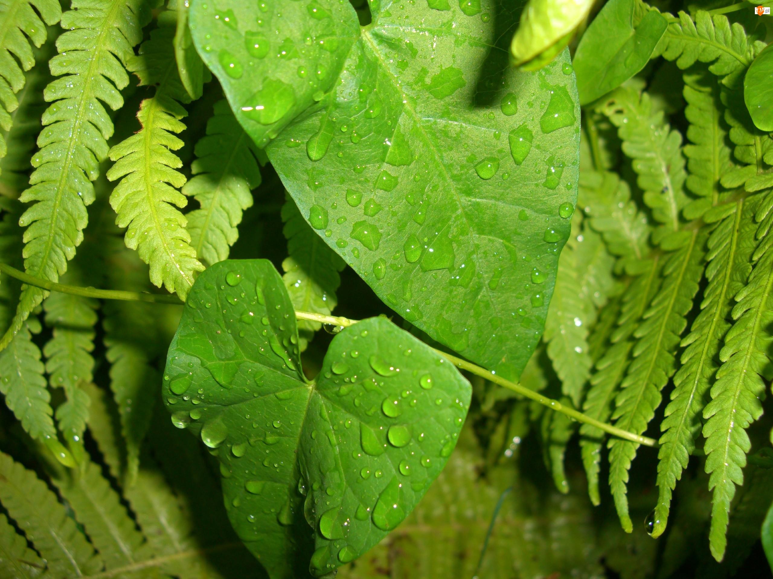 Listki, Krople, Powój, Deszczu, Paprocie, Pnącze