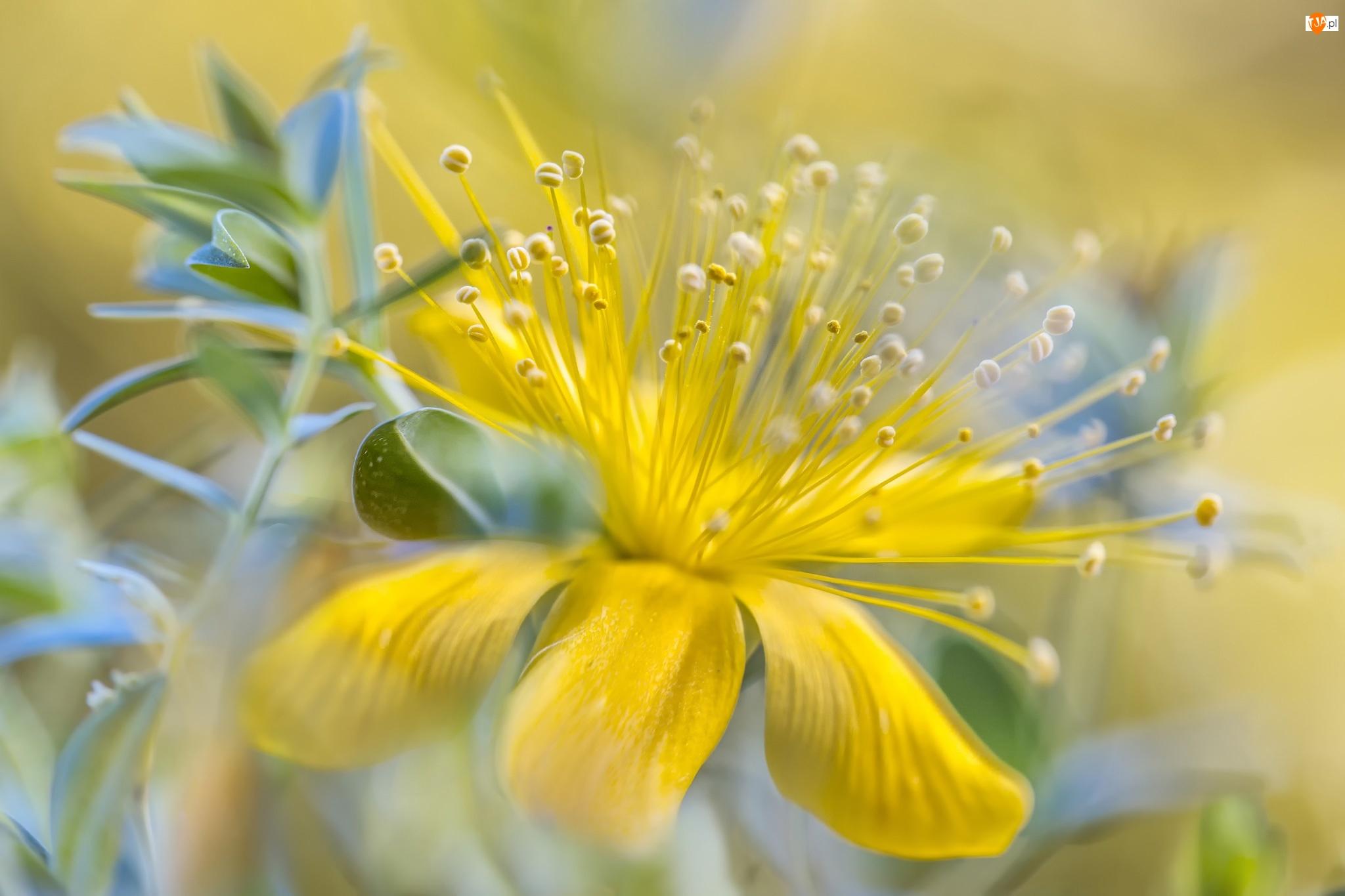 Makro, Kwiat, Dziurawca