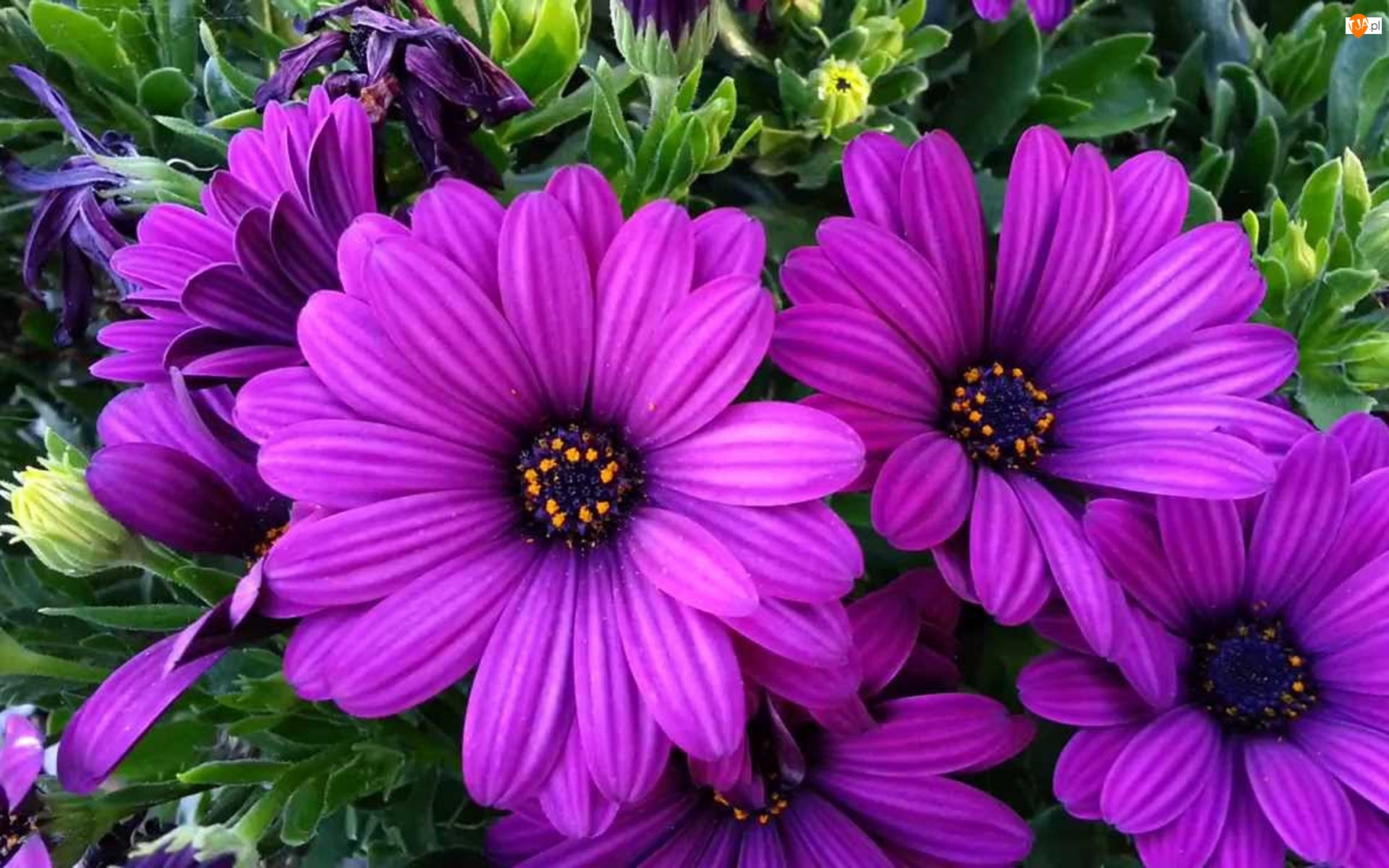 Arktotis, Fioletowe, Kwiaty
