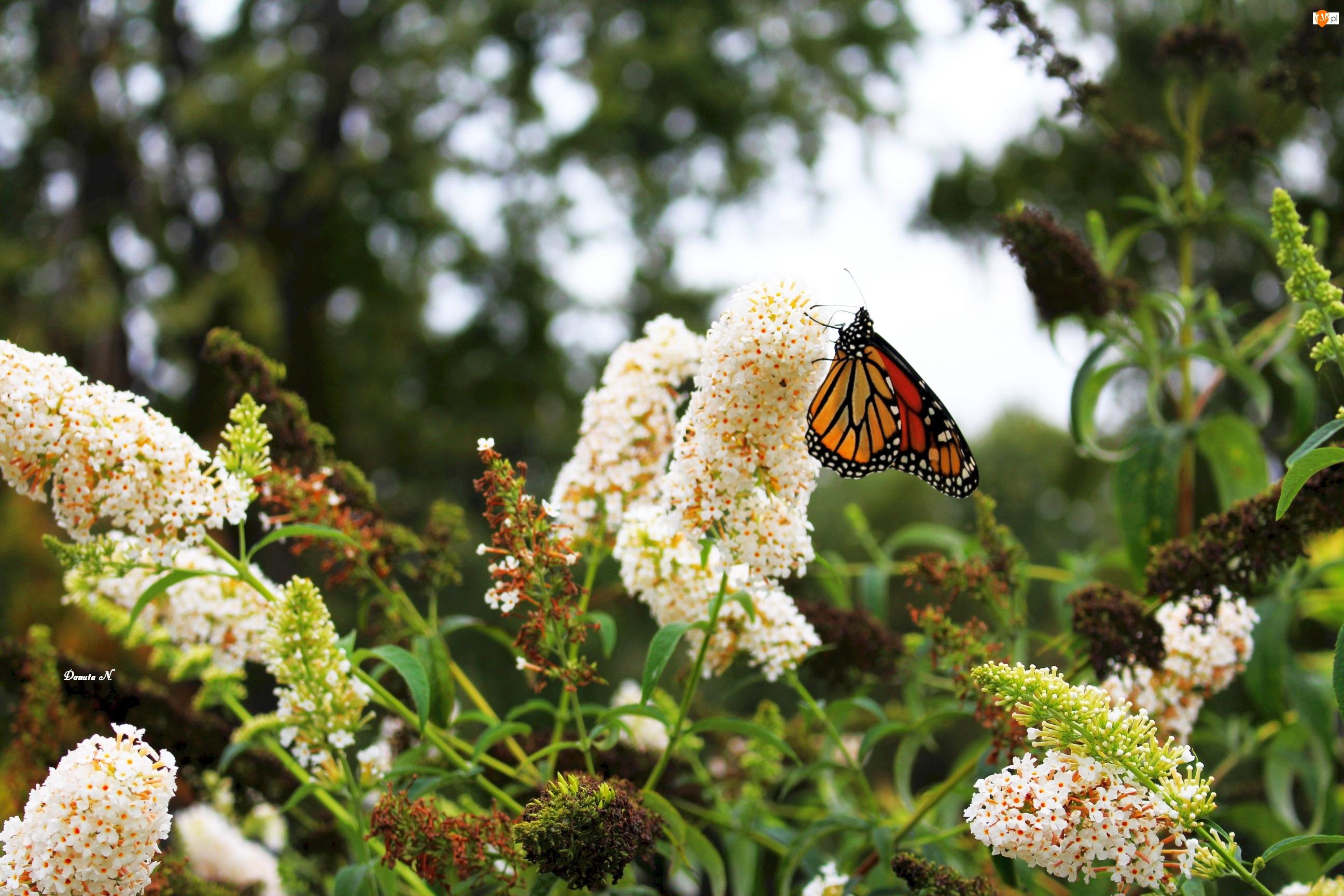 Budleja, Ogród, Motyl, Monarch