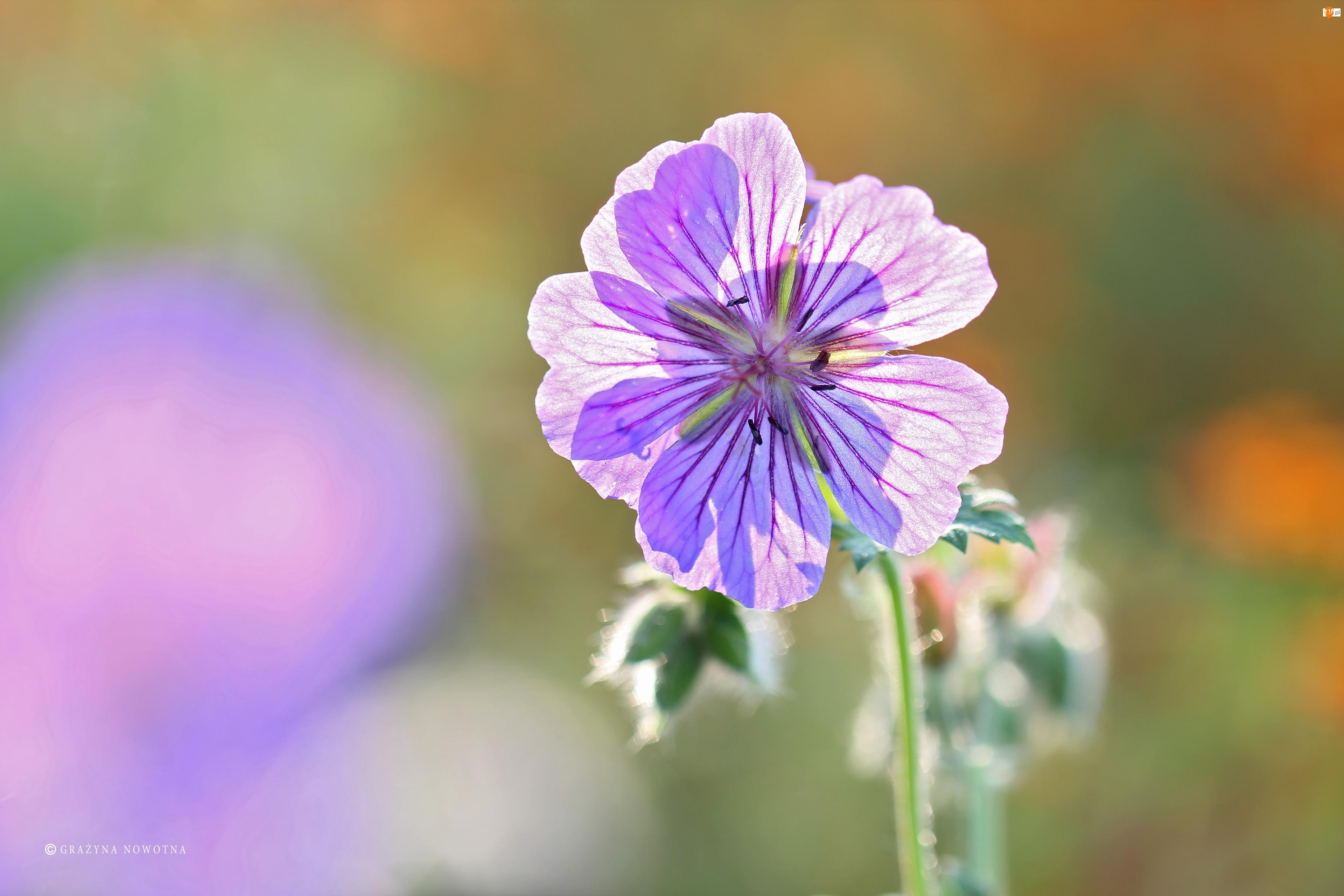 Bodziszek, Kwiat