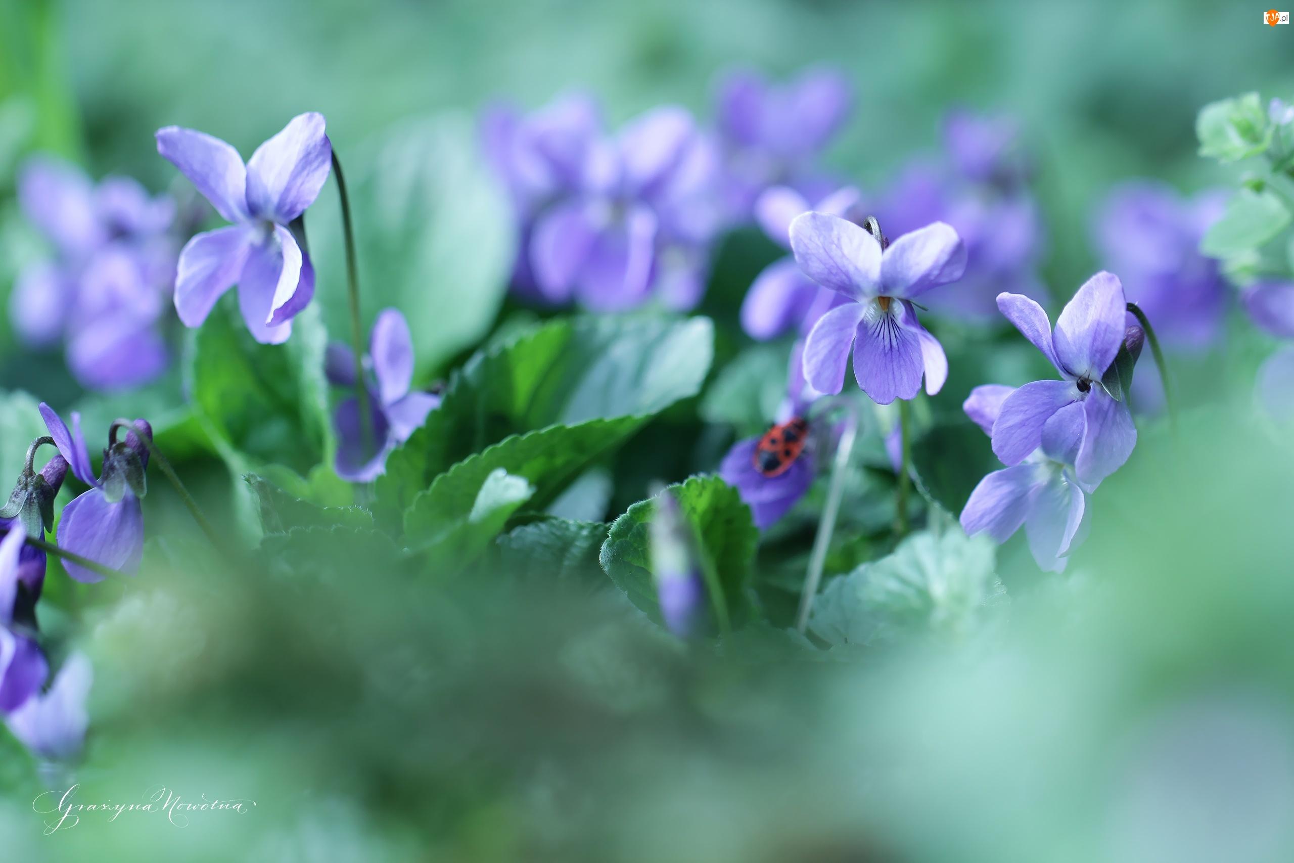 Fiołek, Kwiat, Wonny, Fioletowy