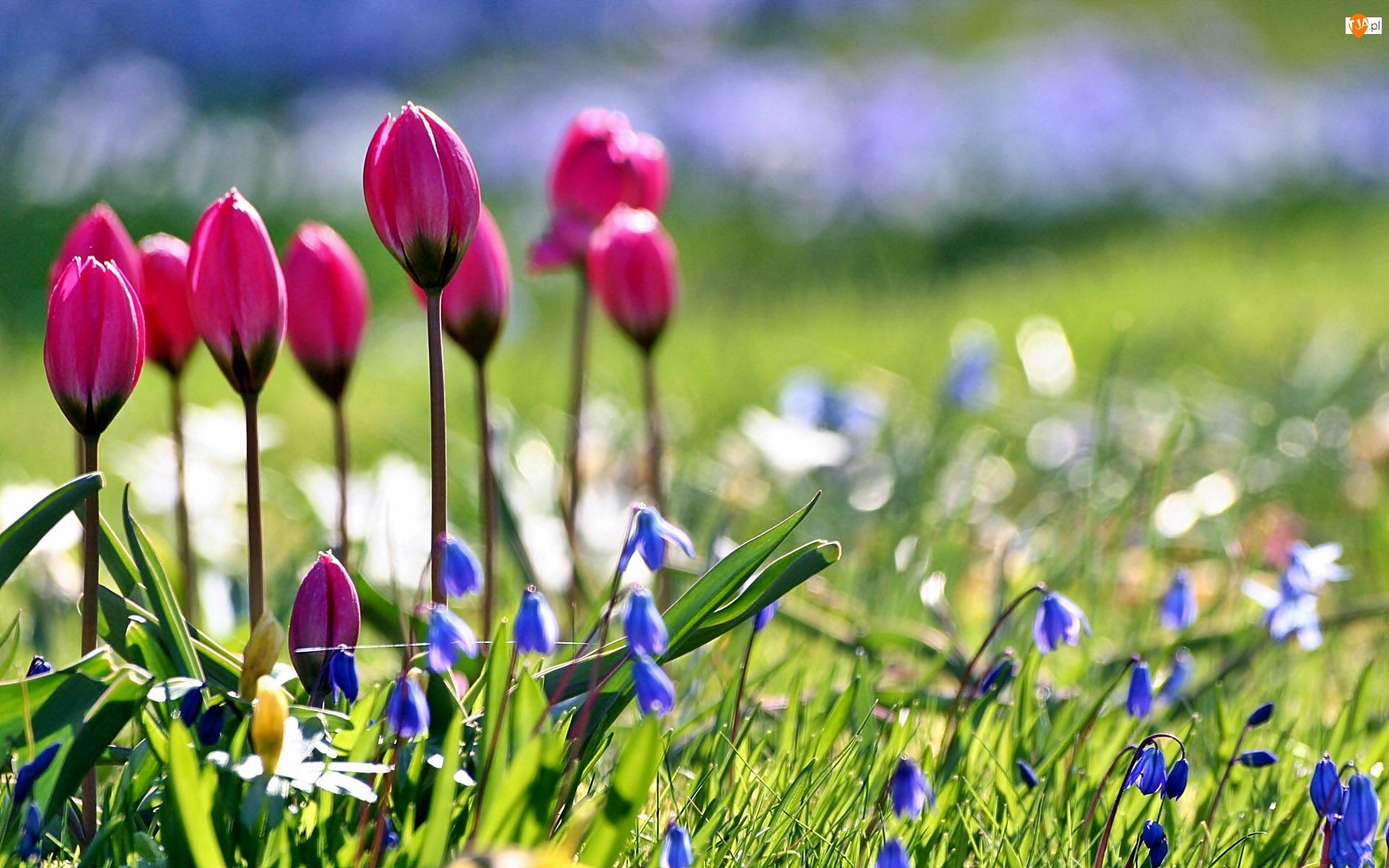 Wiosna, Cebulice, Ogród, Tulipany