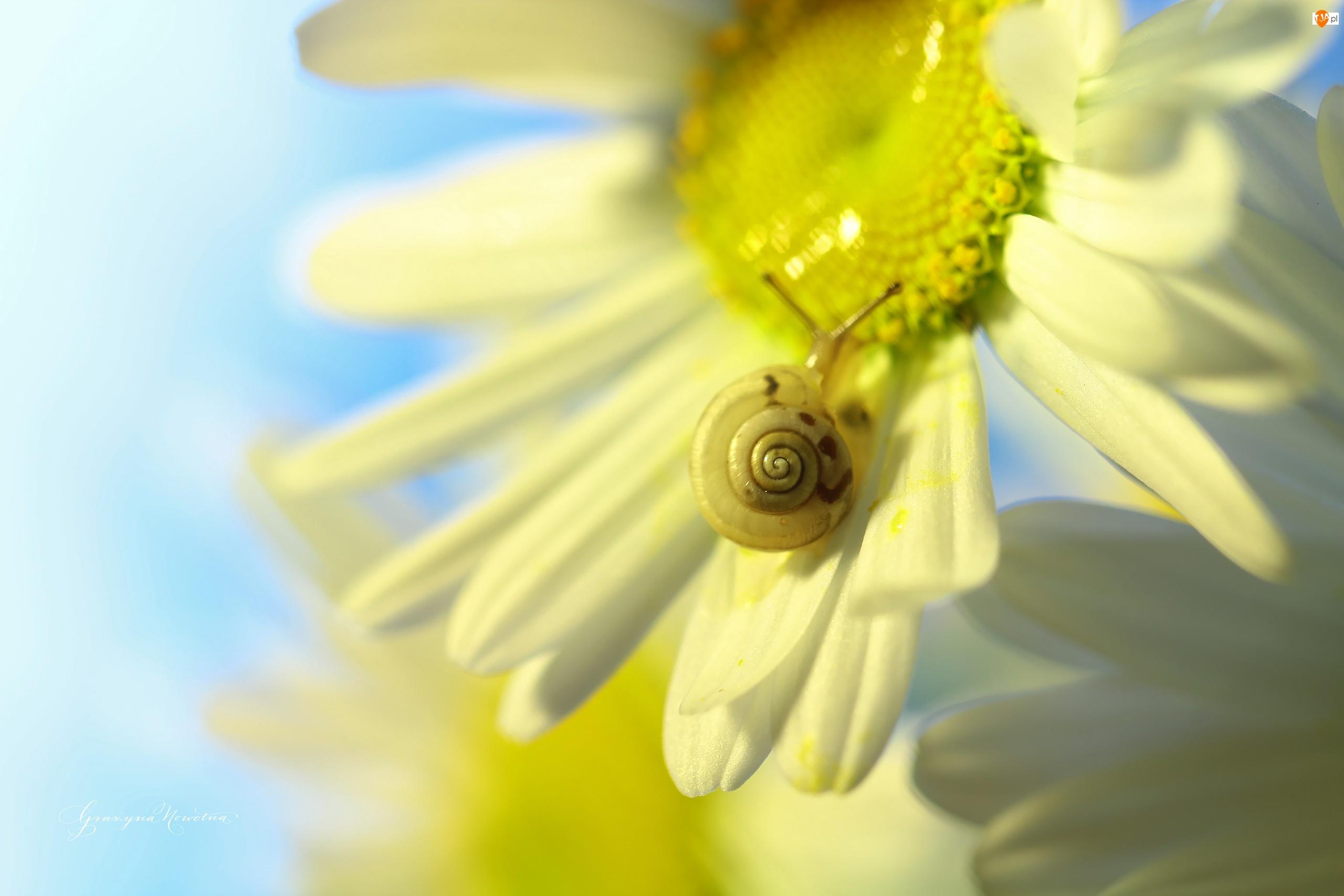 Margerytki, Ślimak, Białe, Kwiaty