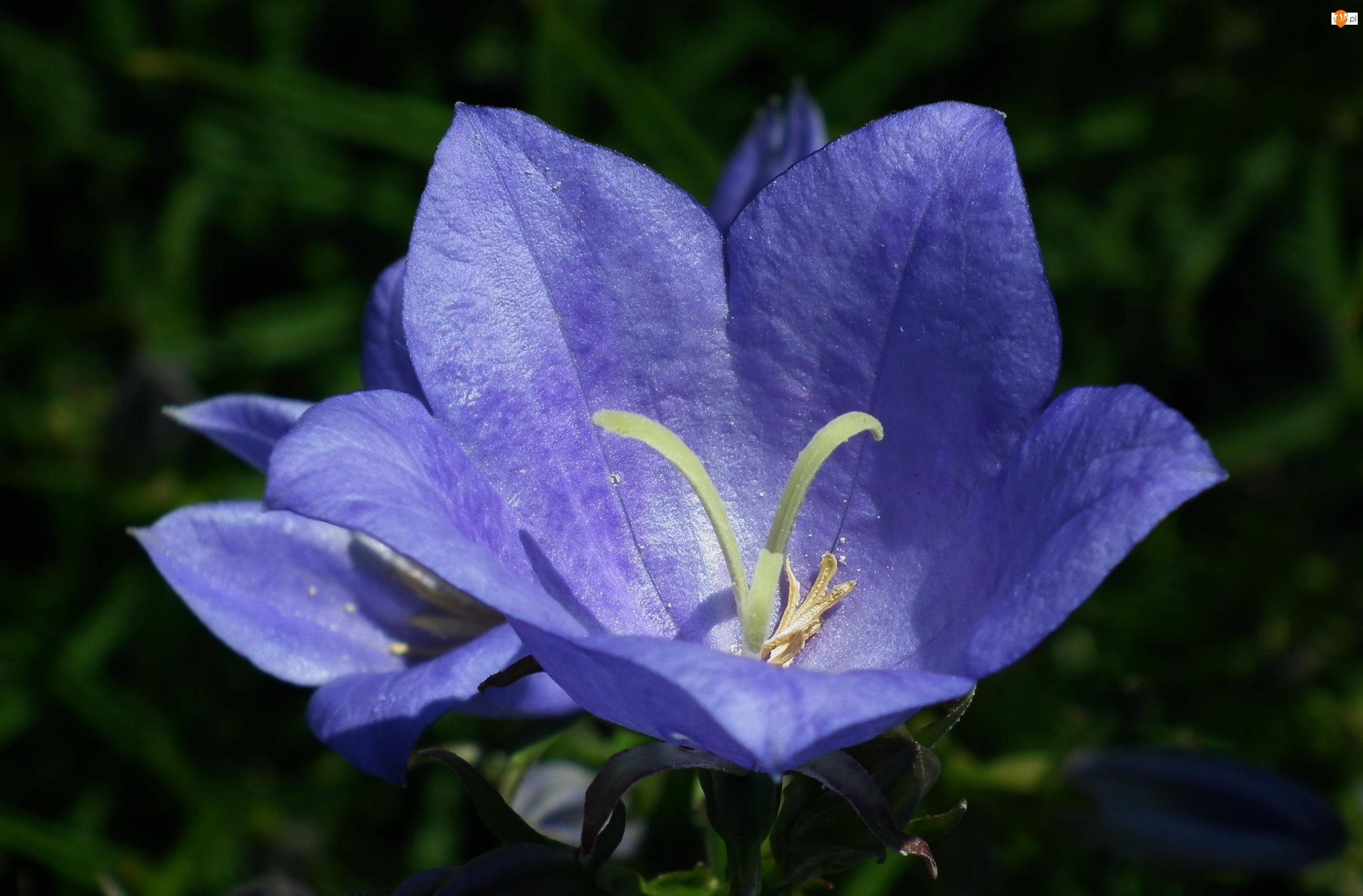 Rozwar, Przyroda, Kwiat