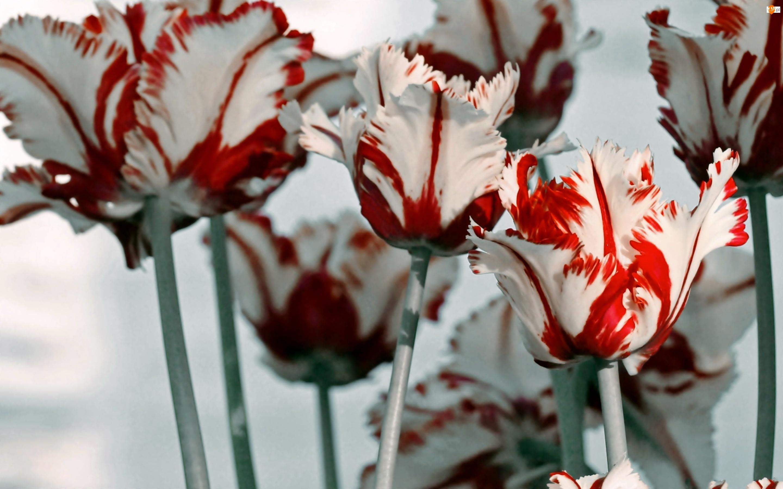 Czerwone, Tulipany, Biało