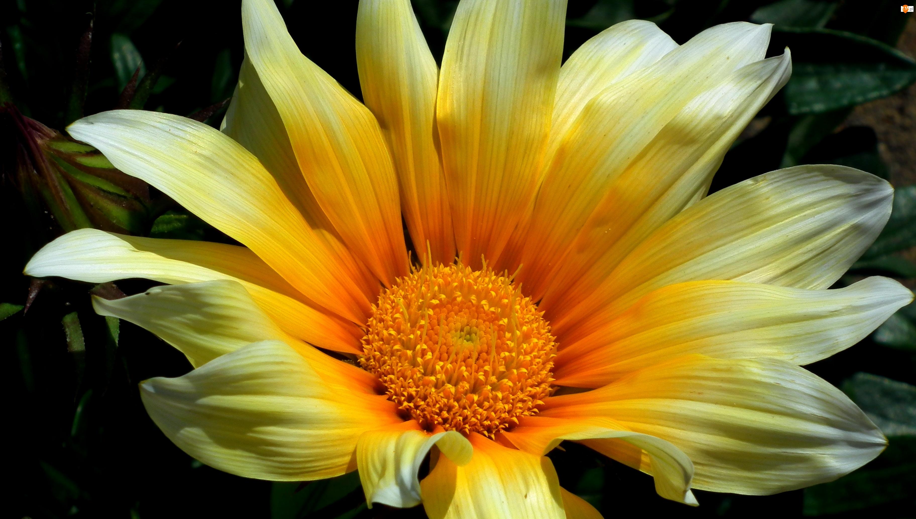 Gazania, Przyroda, Kwiat