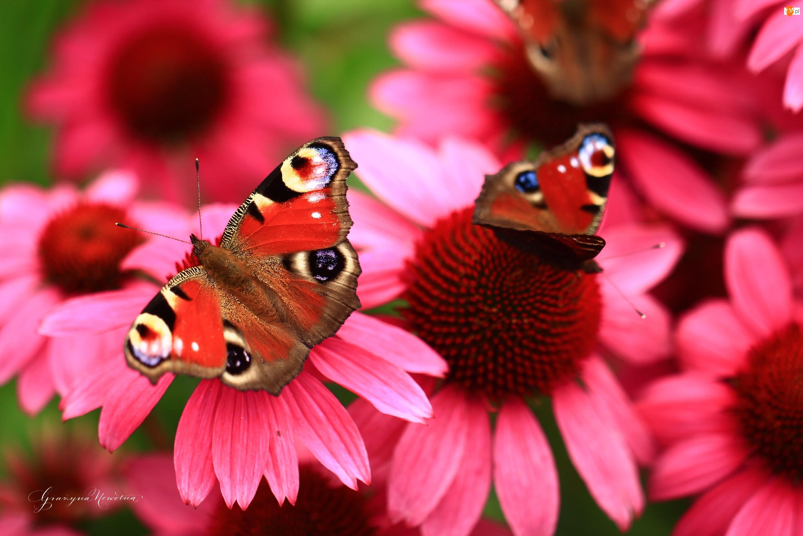 Pawik Rusałka, Jeżówki, Kwiaty, Czerwone, Motyle