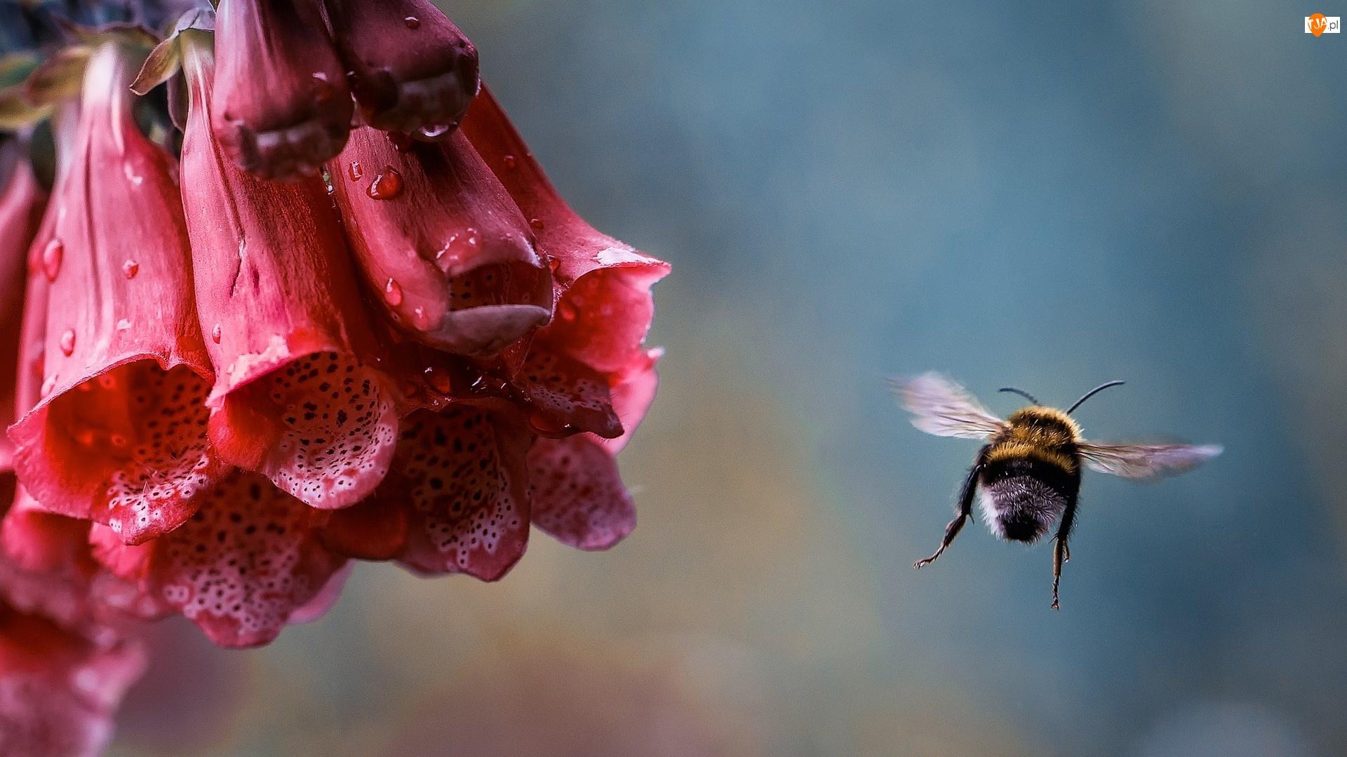 Rosy, Naparstnica, Pszczoła, Purpurowa, Krople