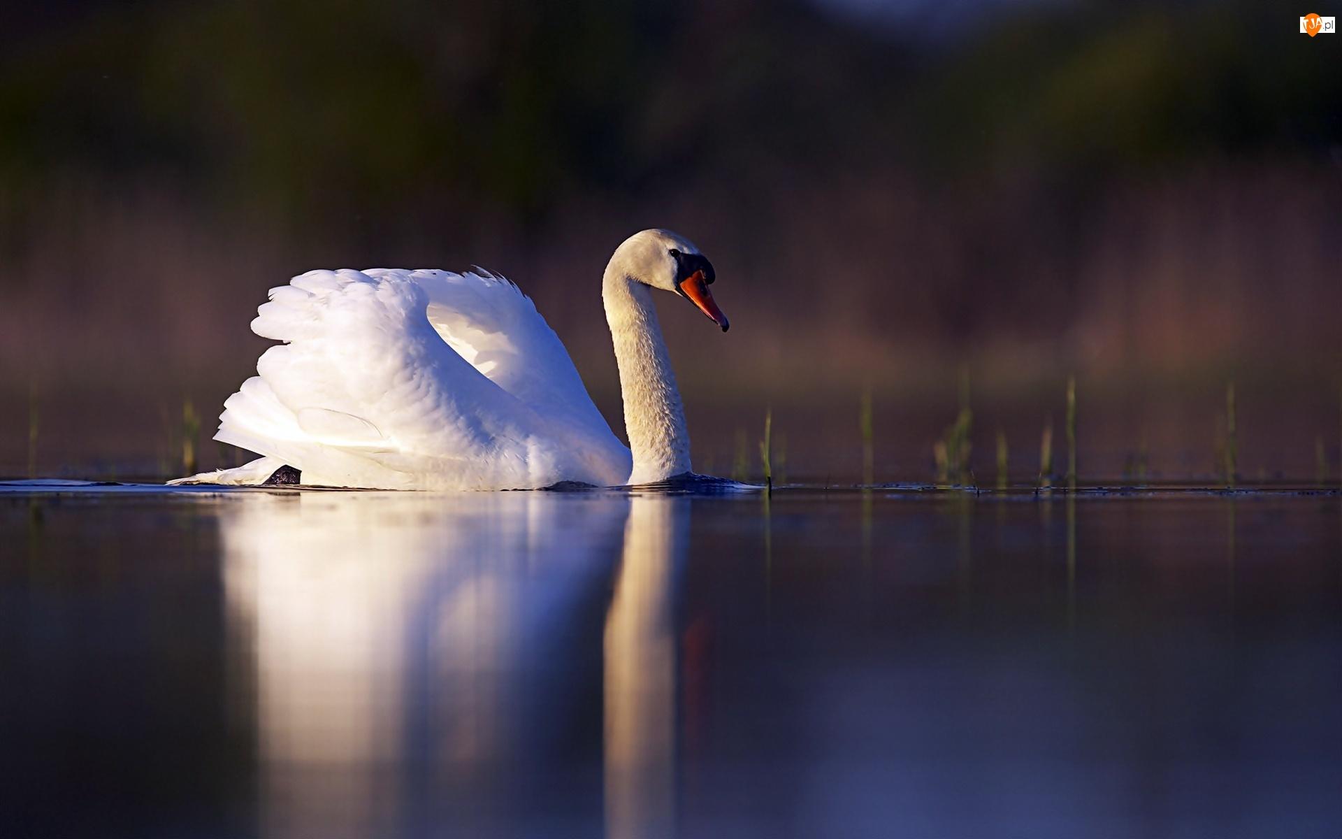 Łabędź, Jezioro