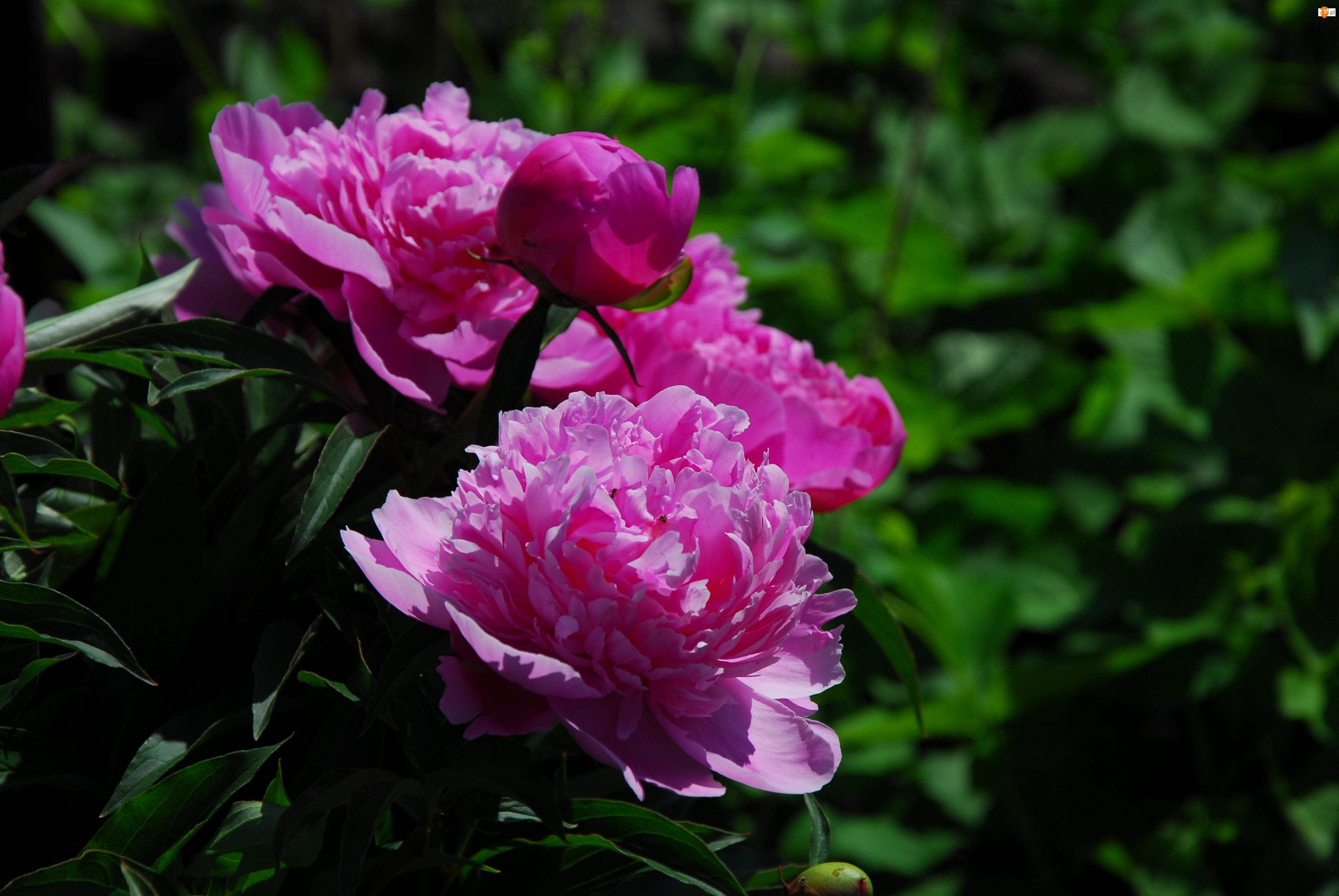 Piwonia, Różowa