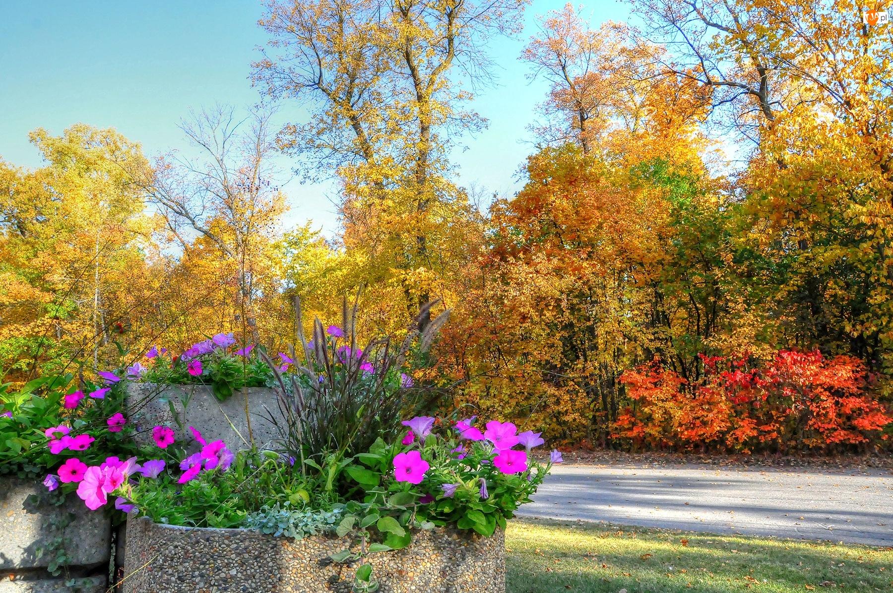 Jesień, Surfinie, Drzewa, Klomb