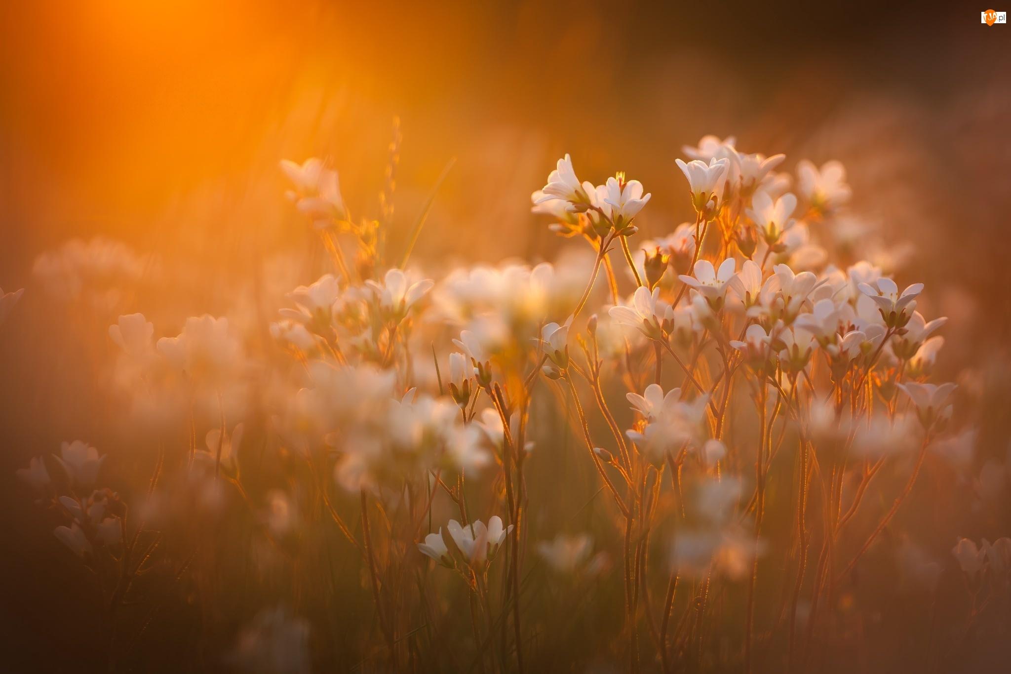 Tło, Łąka, Kwiaty, Białe, Rozmyte