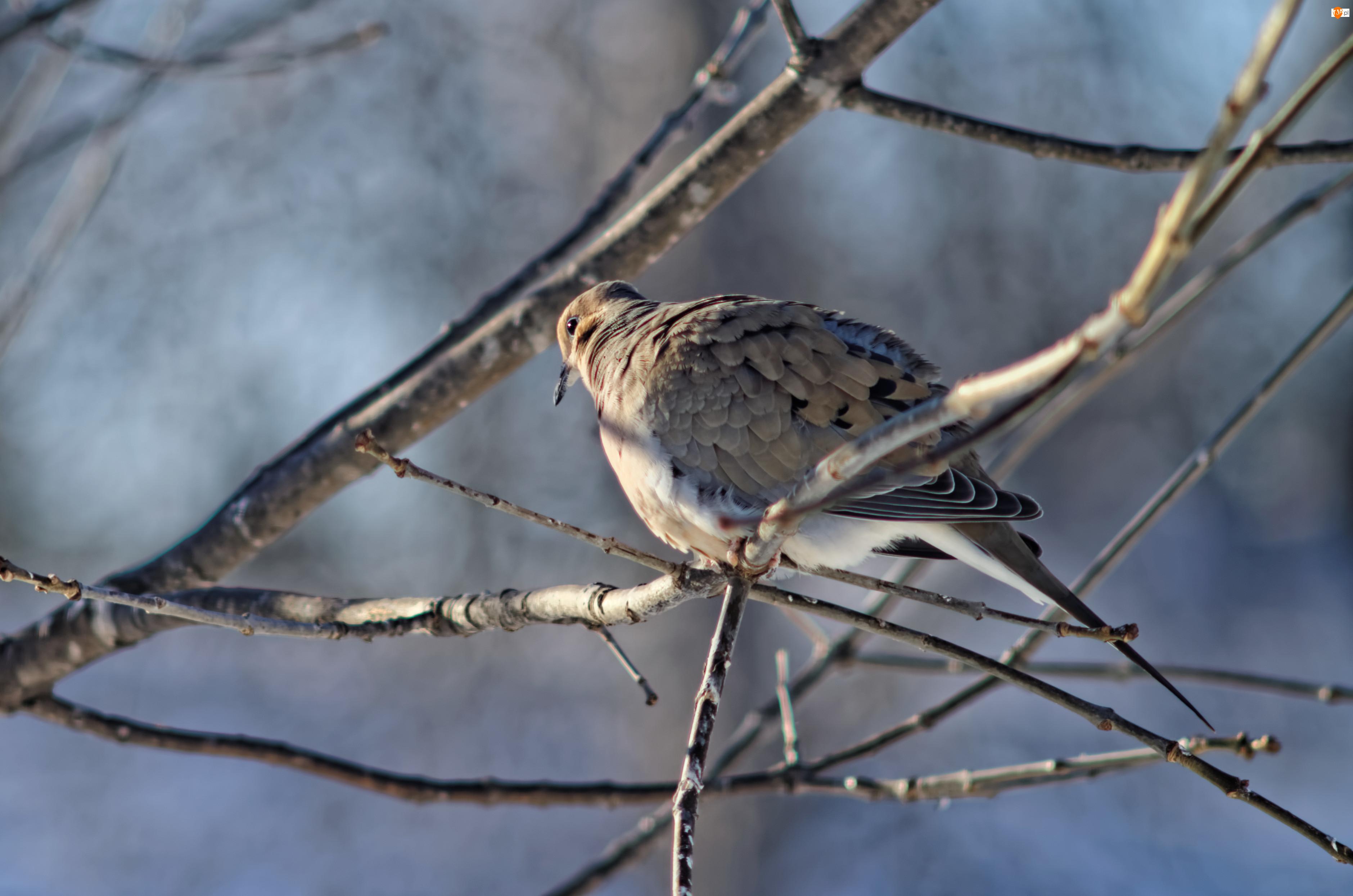 Ptak, Gałęzie, Sierpówka, Gołąb