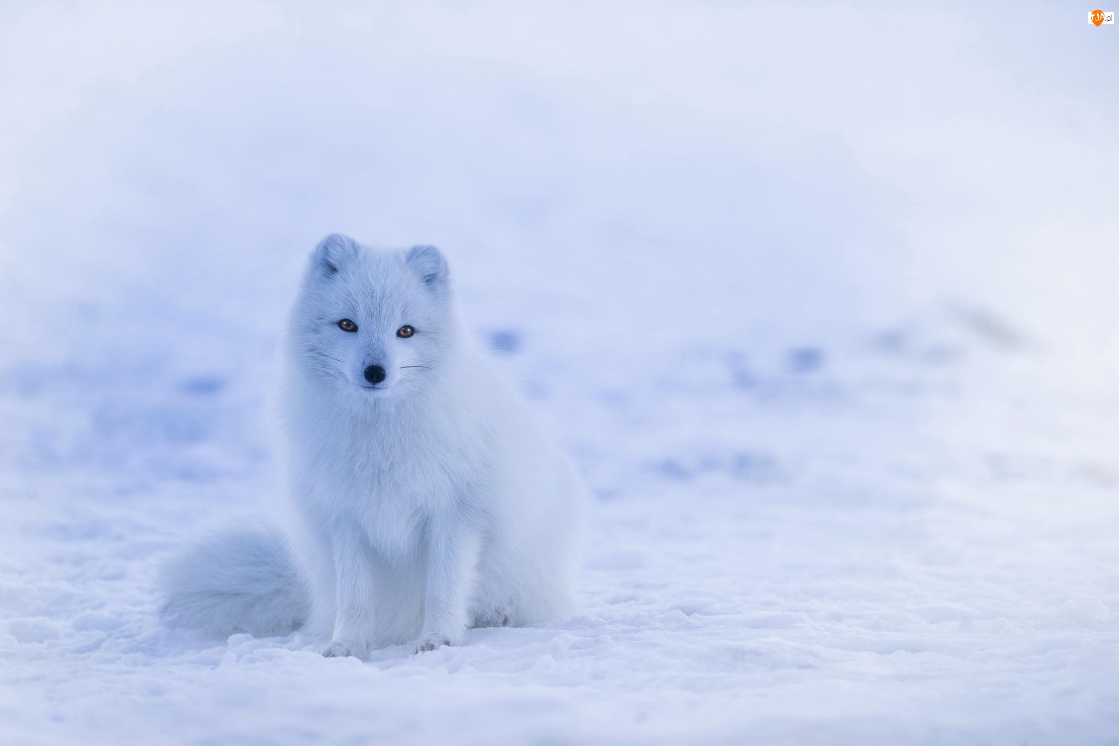 Lis polarny, Śnieg
