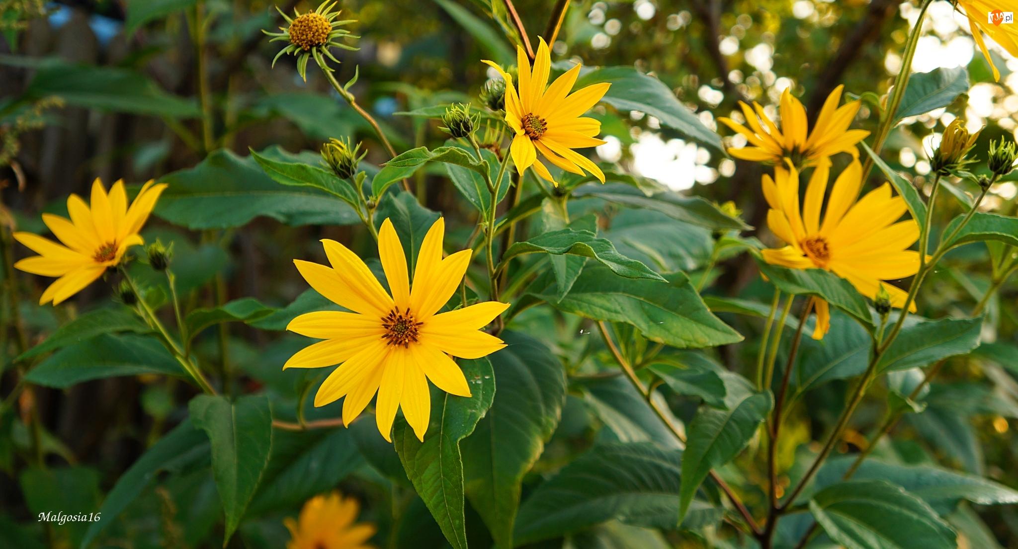Dziki Słonecnik, Żółte, Kwitnący, Kwiaty, Ozdobny, Topinambur