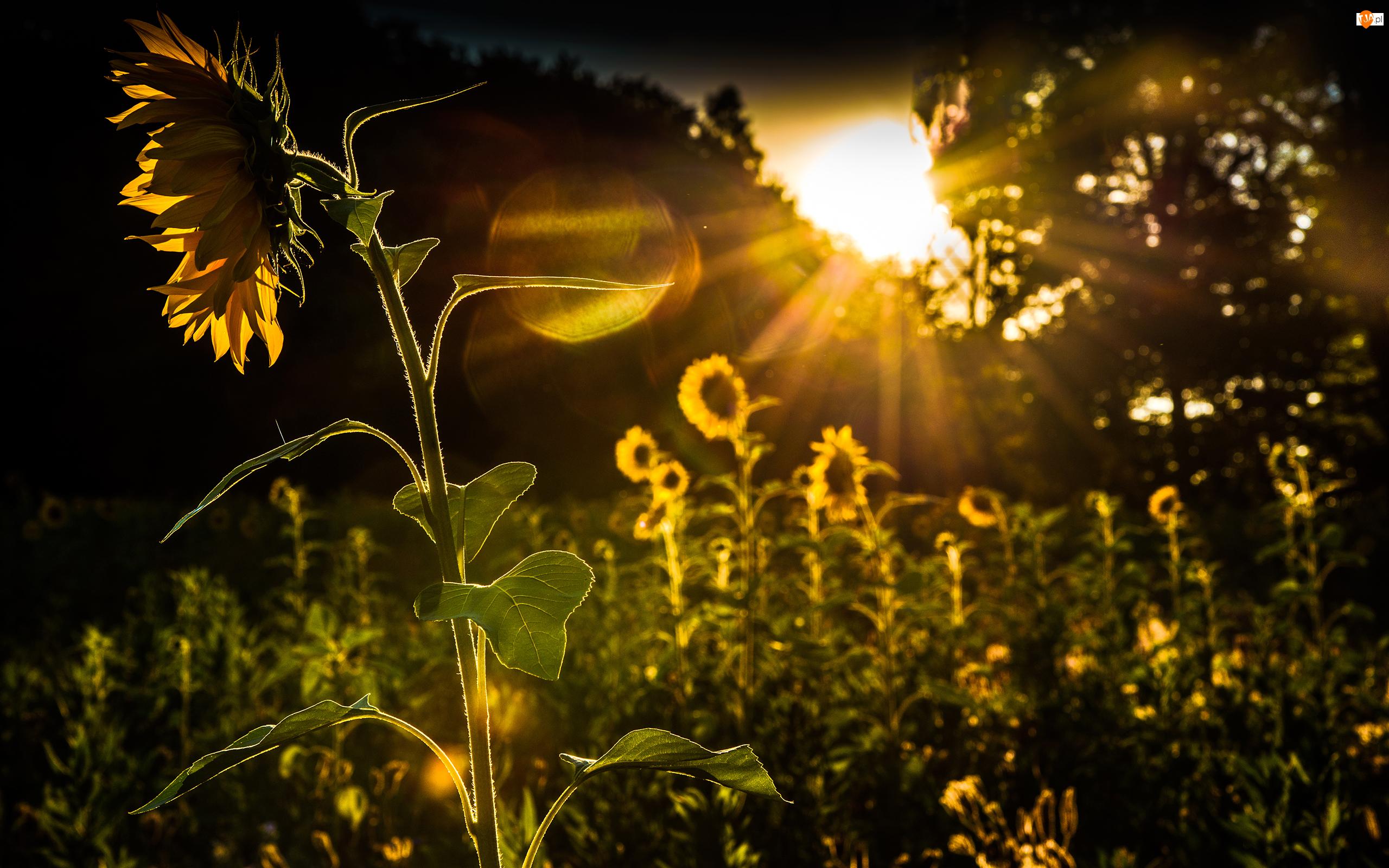 Kwiaty, Słońca, Słonecznik, Promienie