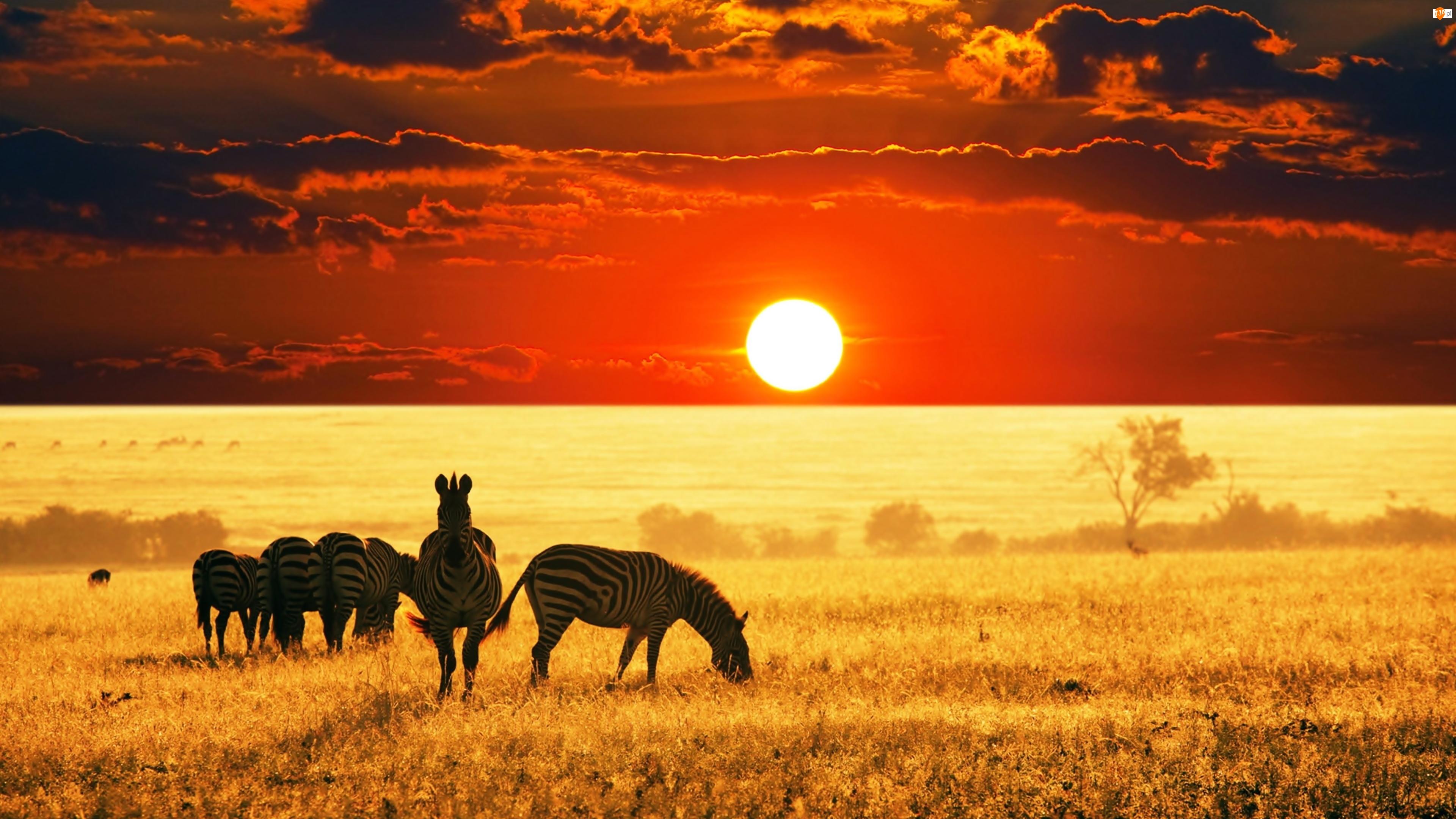 Zebry, Słońca, Sawanna, Zachód