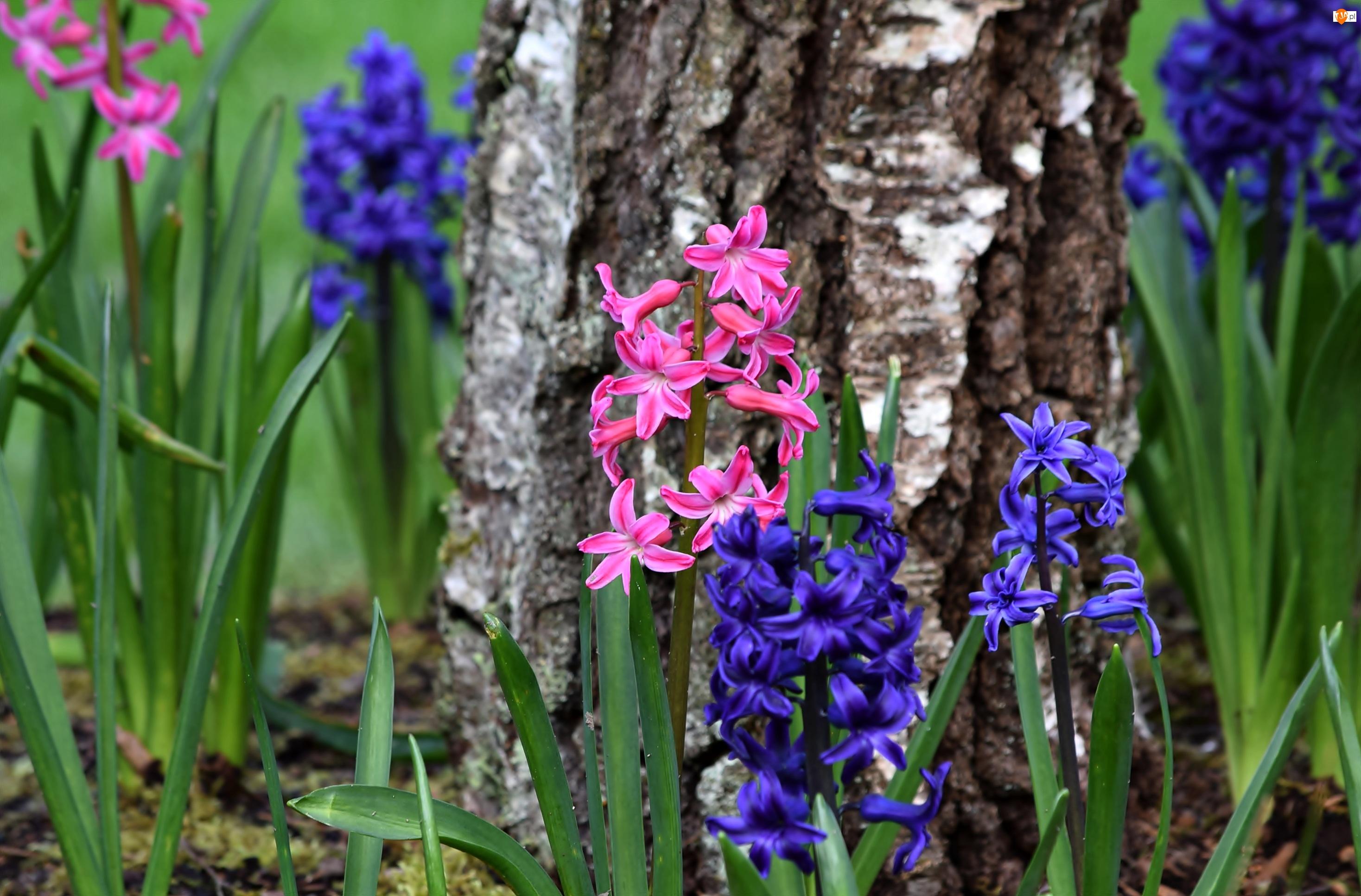 Brzoza, Kwiaty, Pniak, Hiacynty, Kora