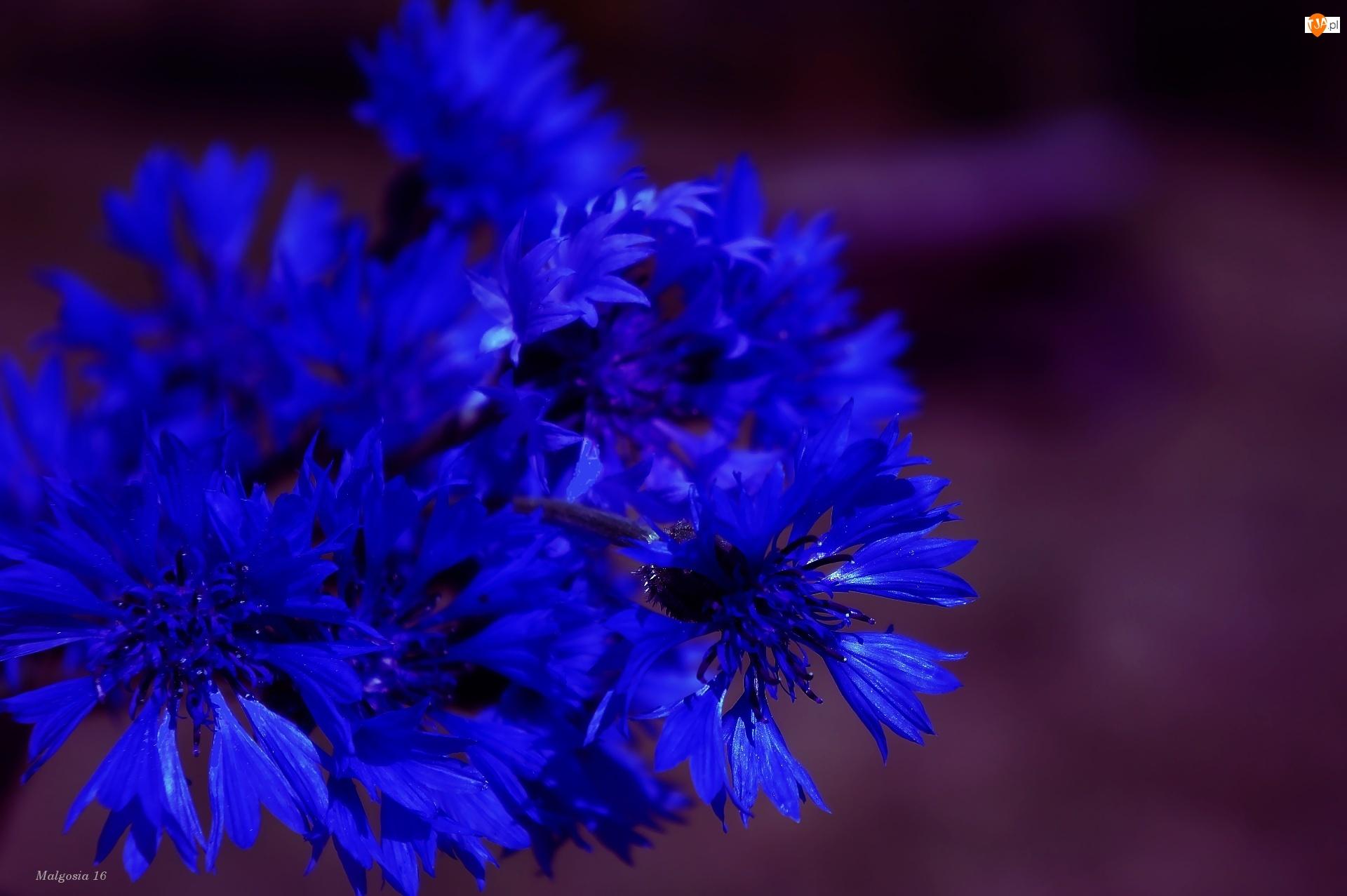 Kwiaty, Bukiet, Niebieskie, Chabry