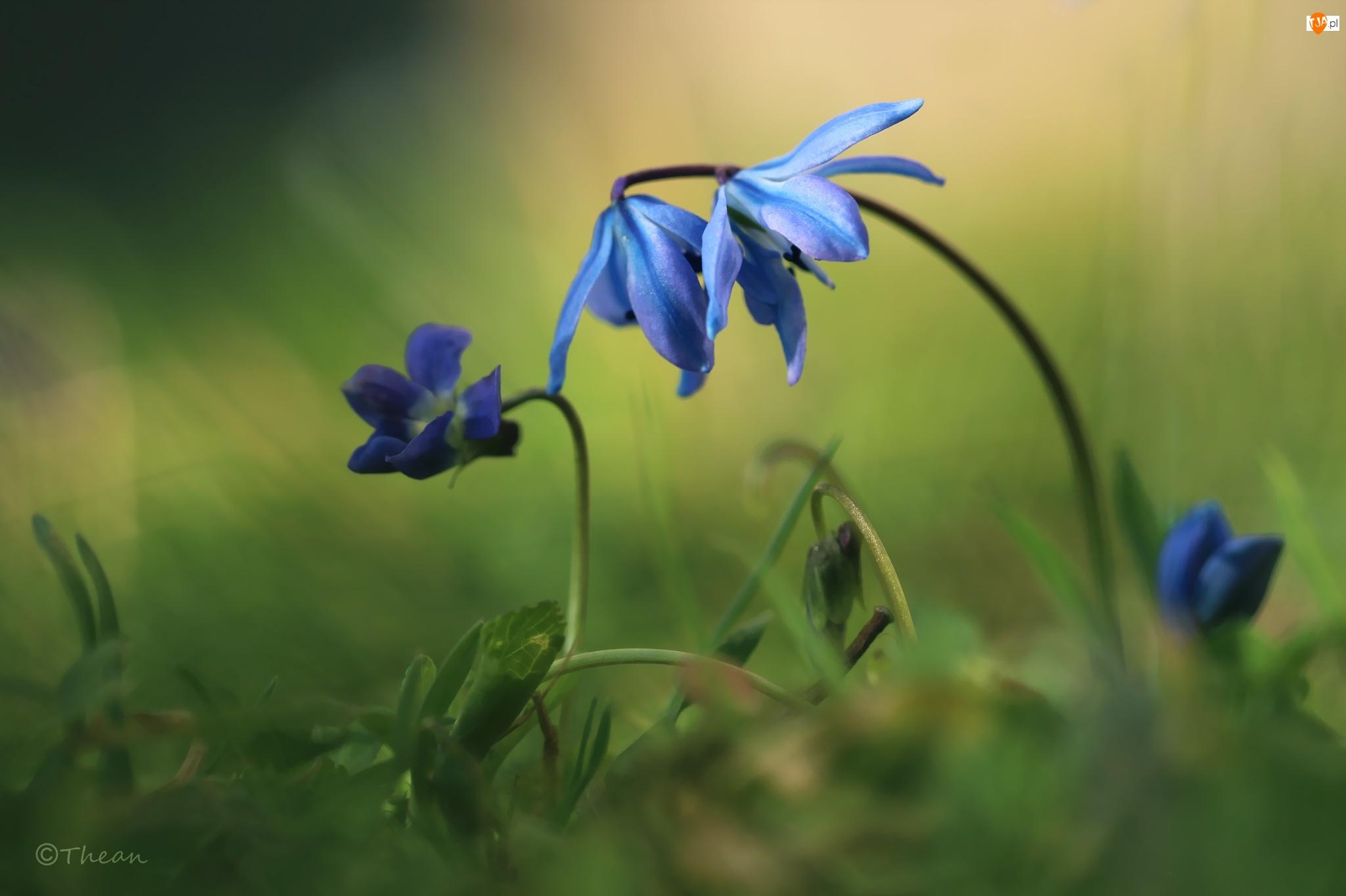 Wiosna, Niebieskie, Cebulice Syberyjskie, Fioletowe, Fiołki, Kwiaty