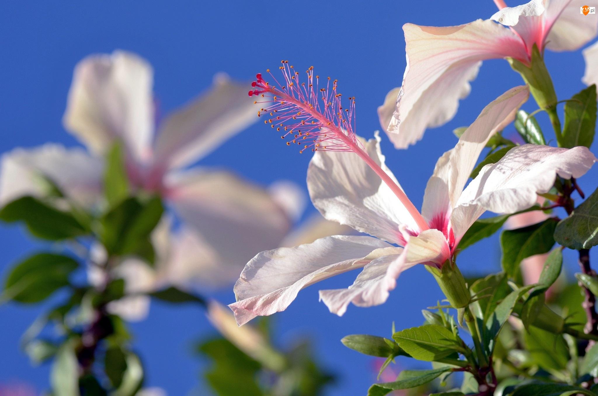 Kwiat, Lato, Biały Hibiskus, Niebo