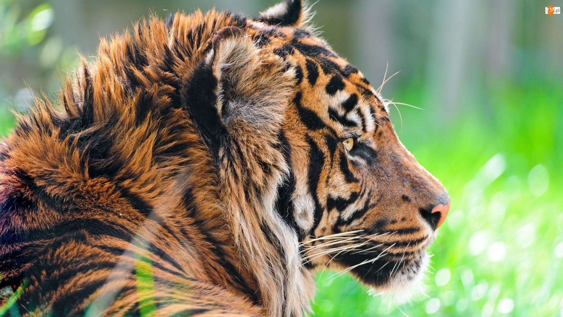 Tygrys, Profil