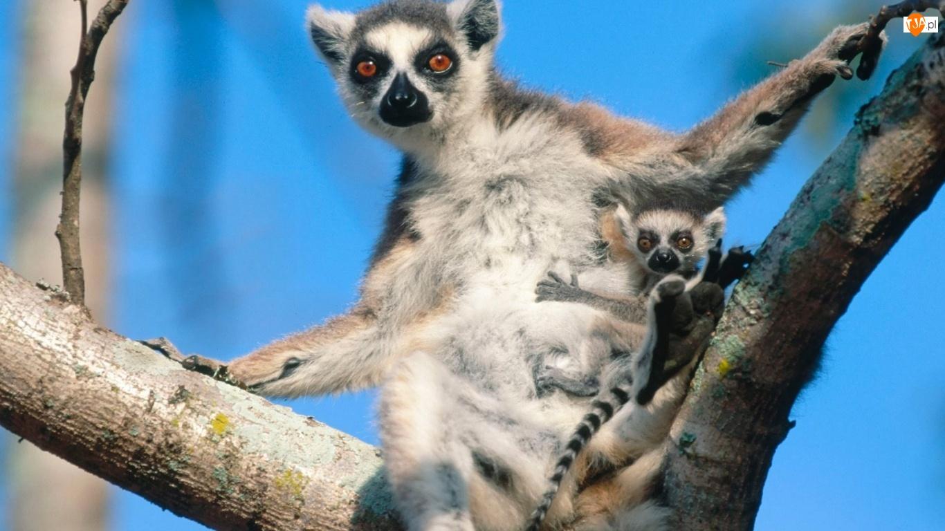 Młodym, Lemur, Z