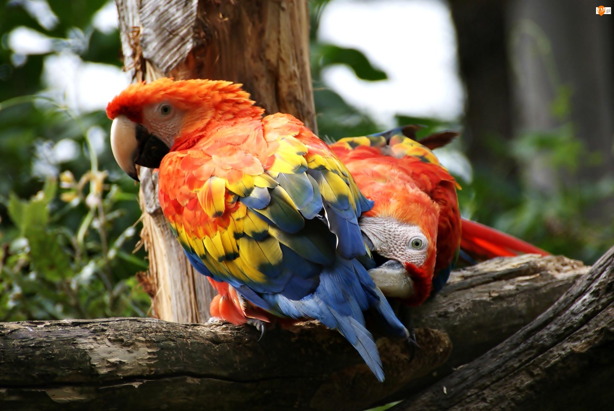 Drzewo, Dwie, Papugi