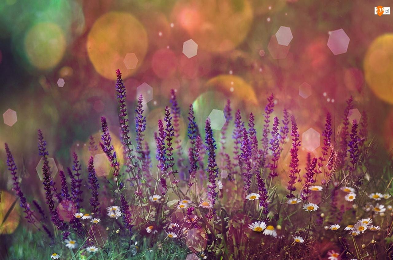 Kwiaty, Blask, Stokrotki, Lawenda