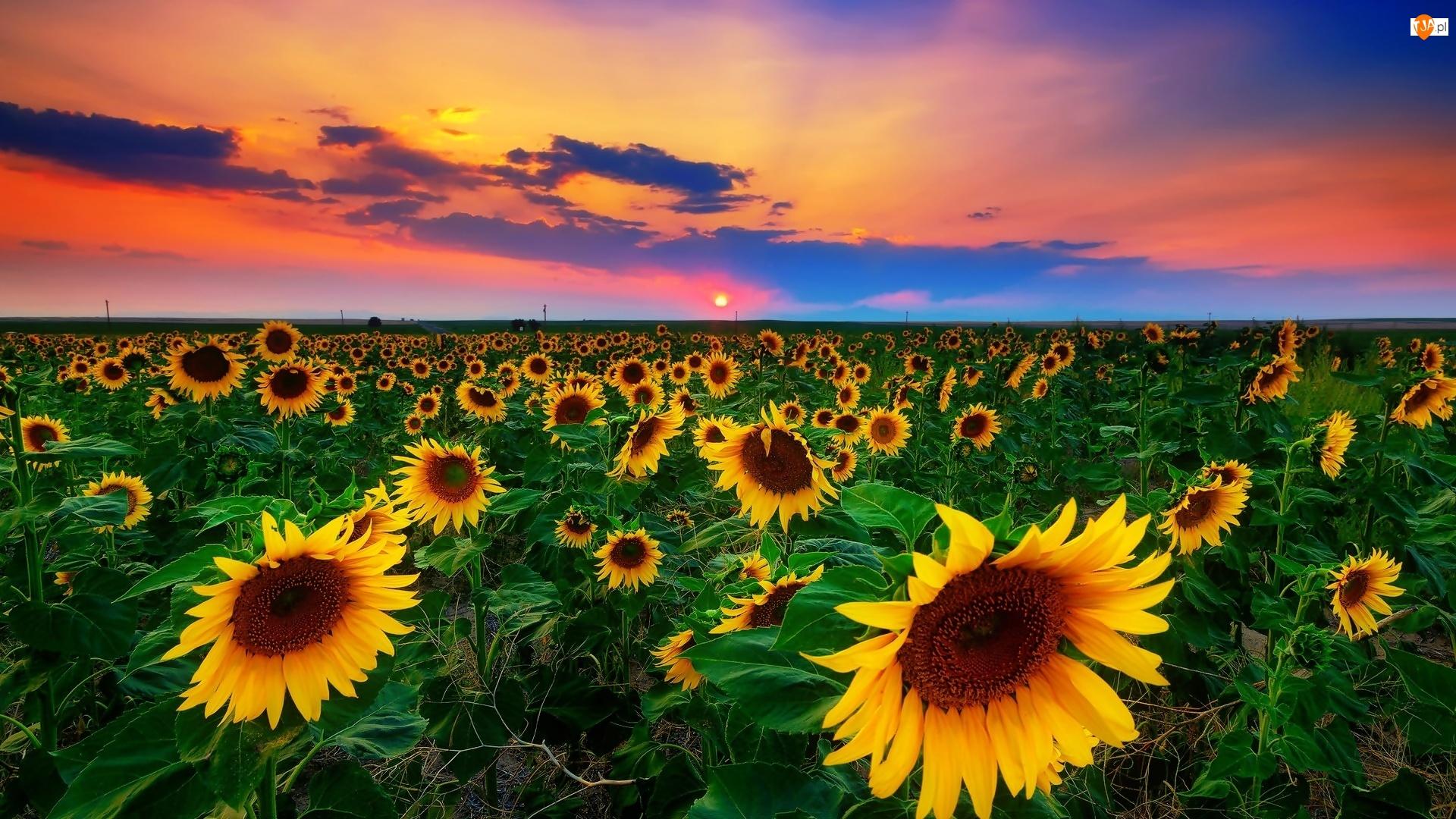 Słońca, Pole, Piękny, Słoneczniki, Zachód