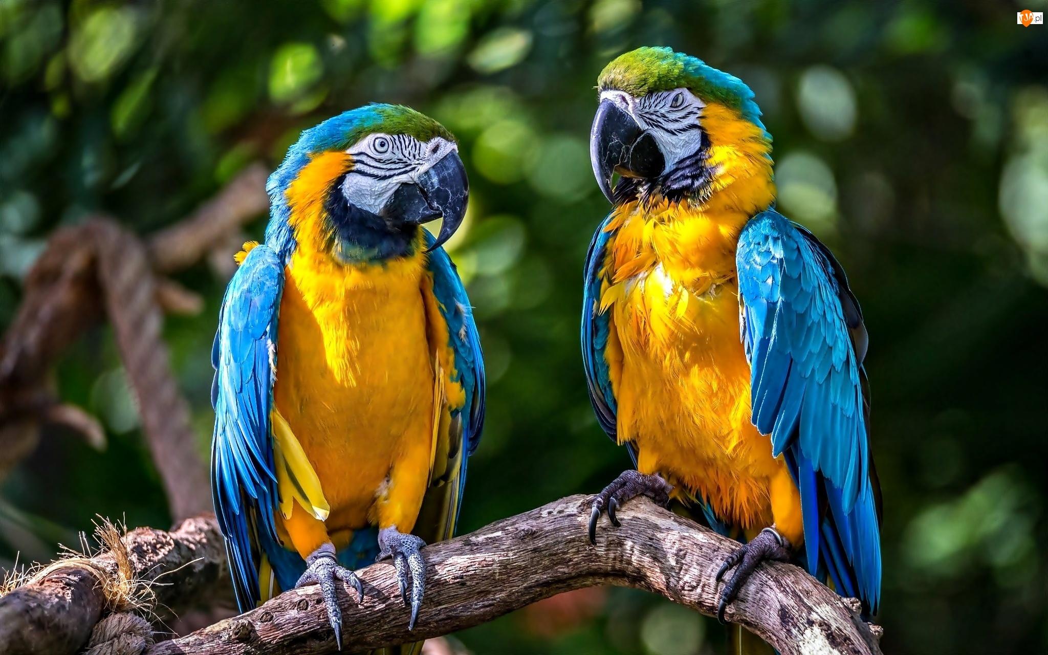 Gałąź, Dwie, Papugi