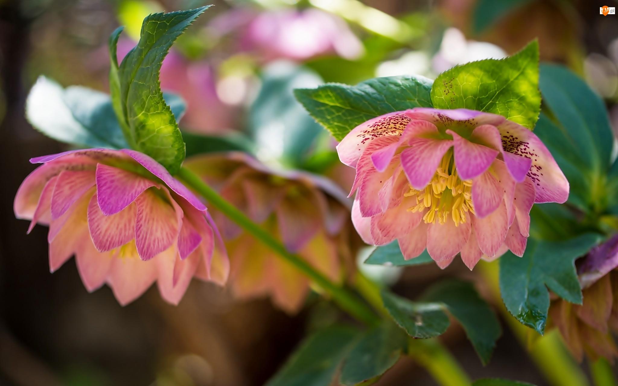 Kwiaty, Ciemiernik