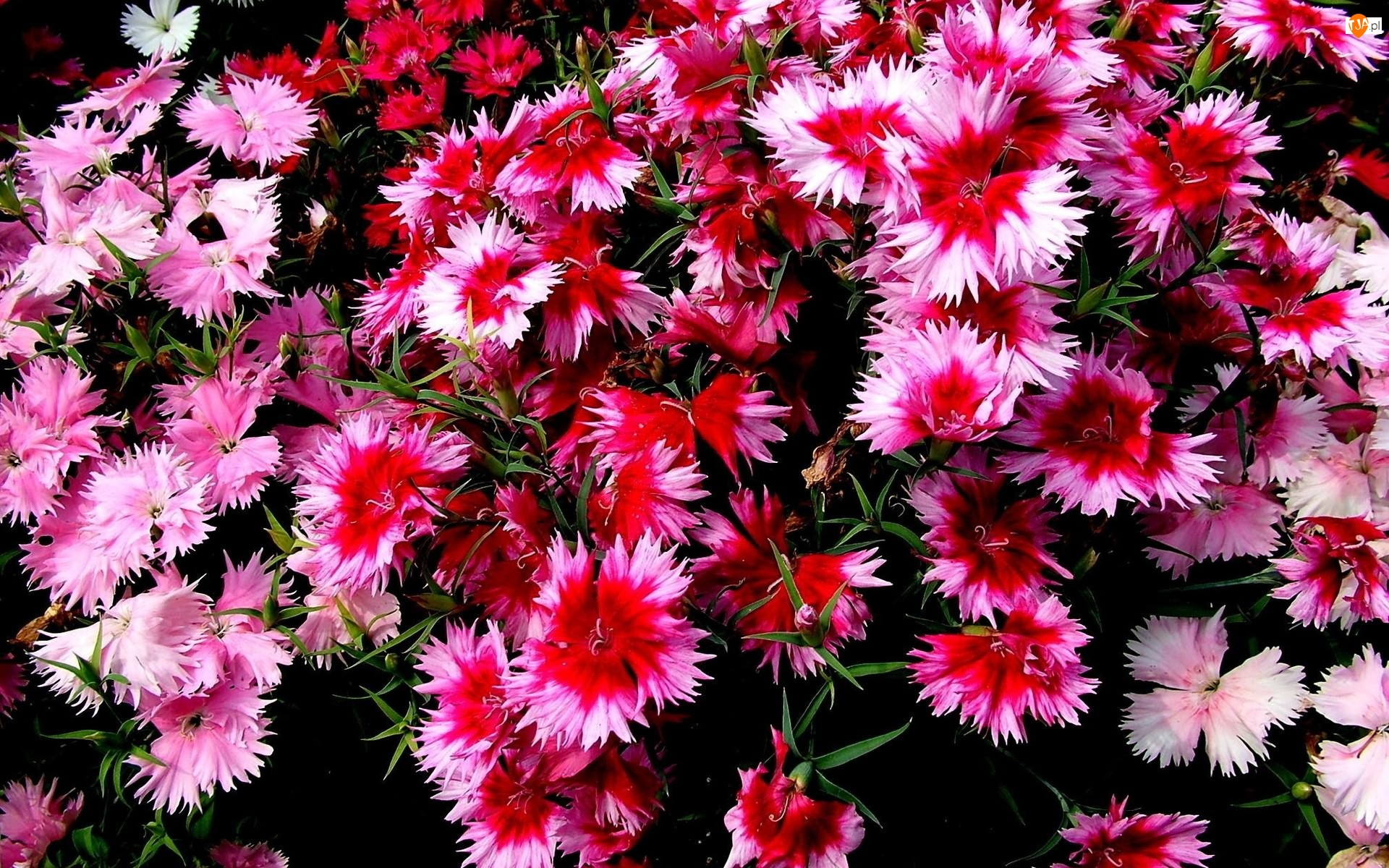 Ogród, Kolorowe, Goździki