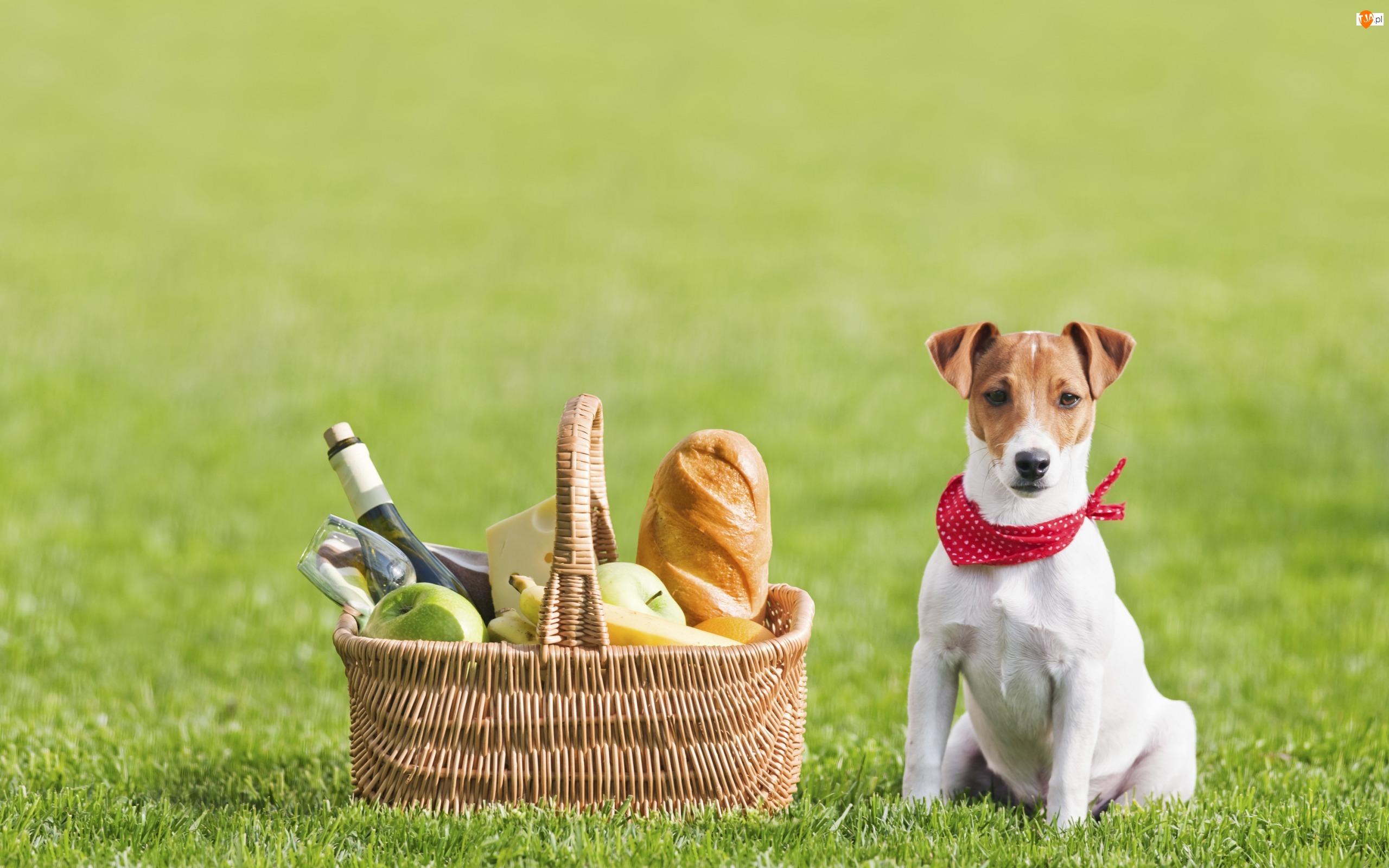 Jabłka, Koszyk, Jack Russell terrier, Pies, Piknik, Trawa, Chleb