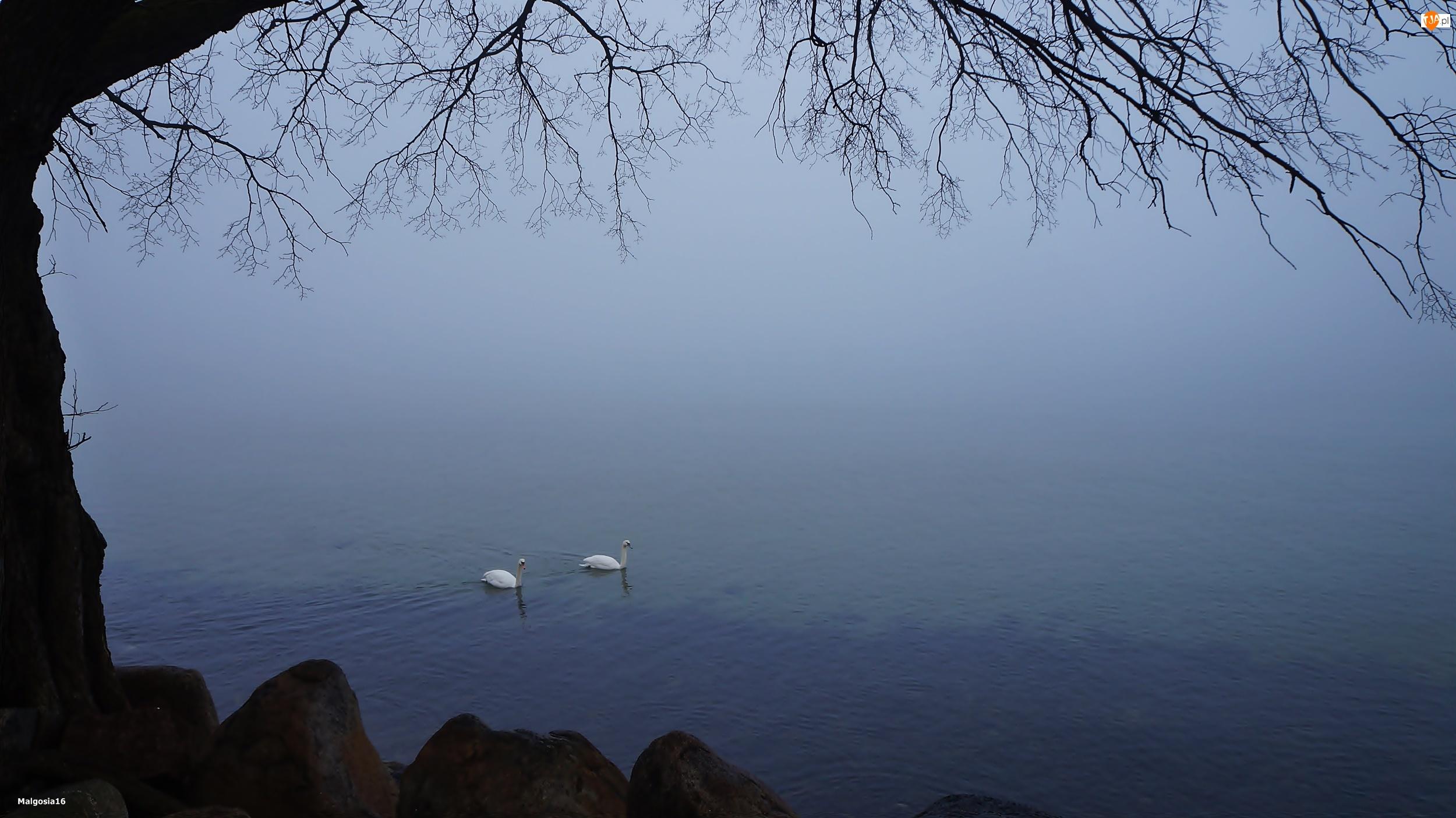 Jezioro, Gałązki, Łabędzie, Drzewo