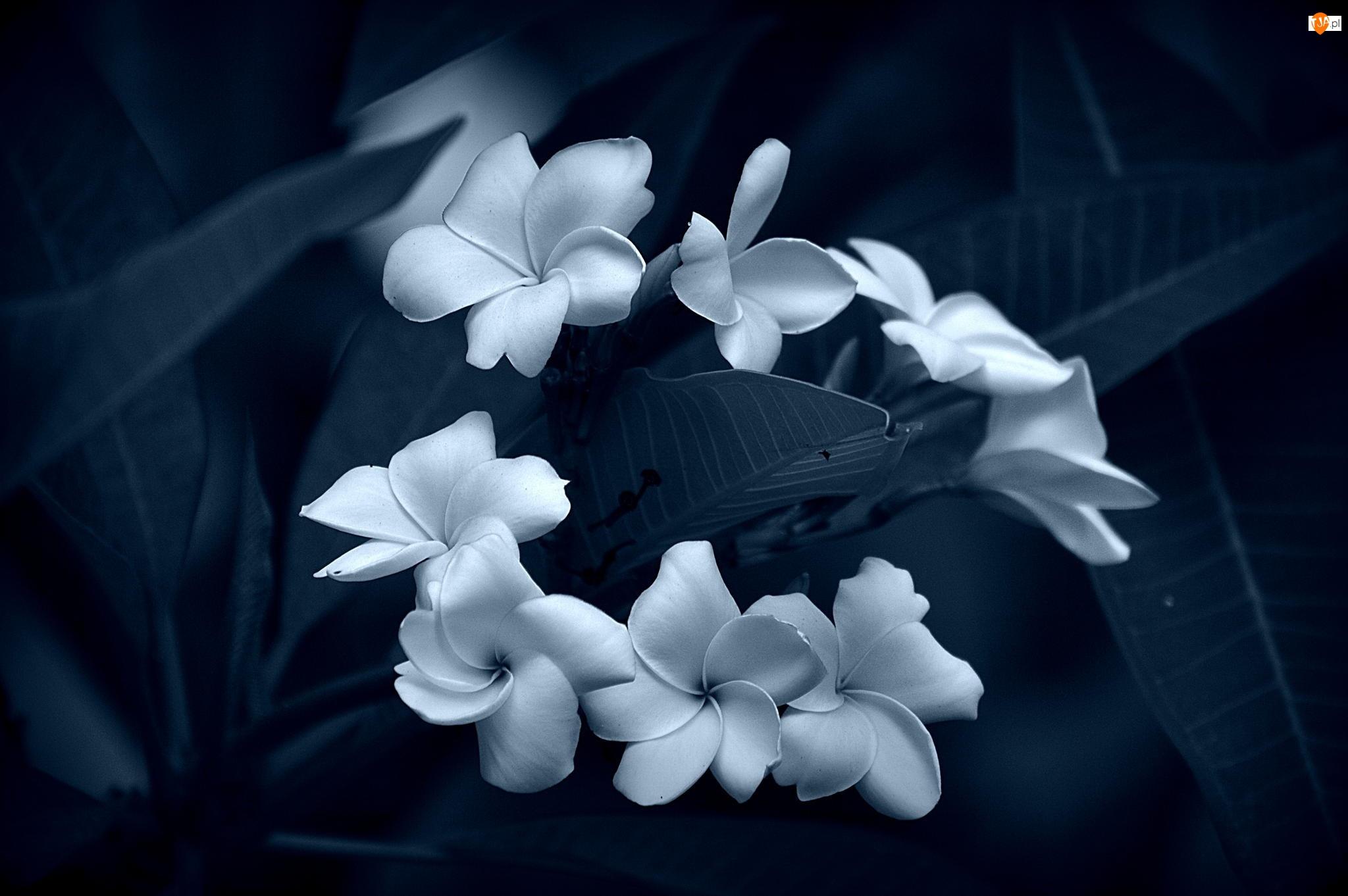 Biało-Niebieski, Kwiaty, Plumeria