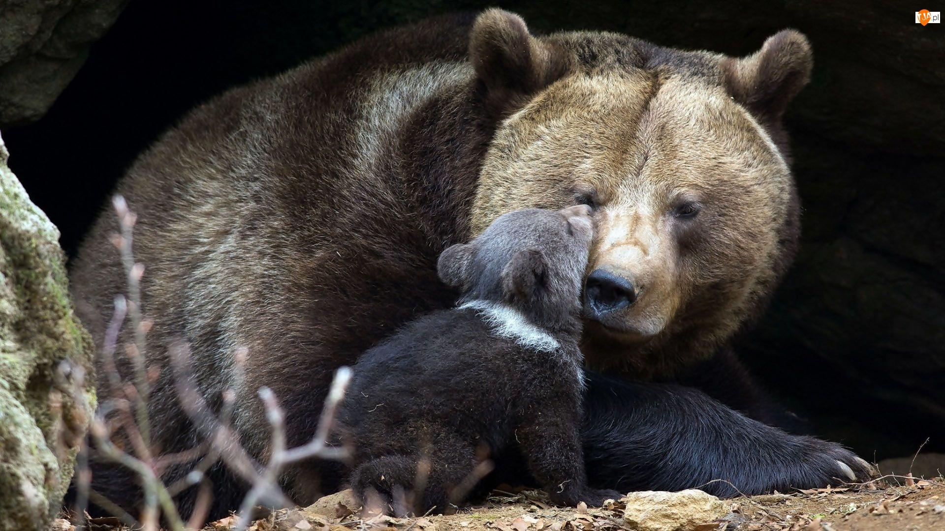 Niedźwiedzica, Brunatny, Mały, Niedźwiadek