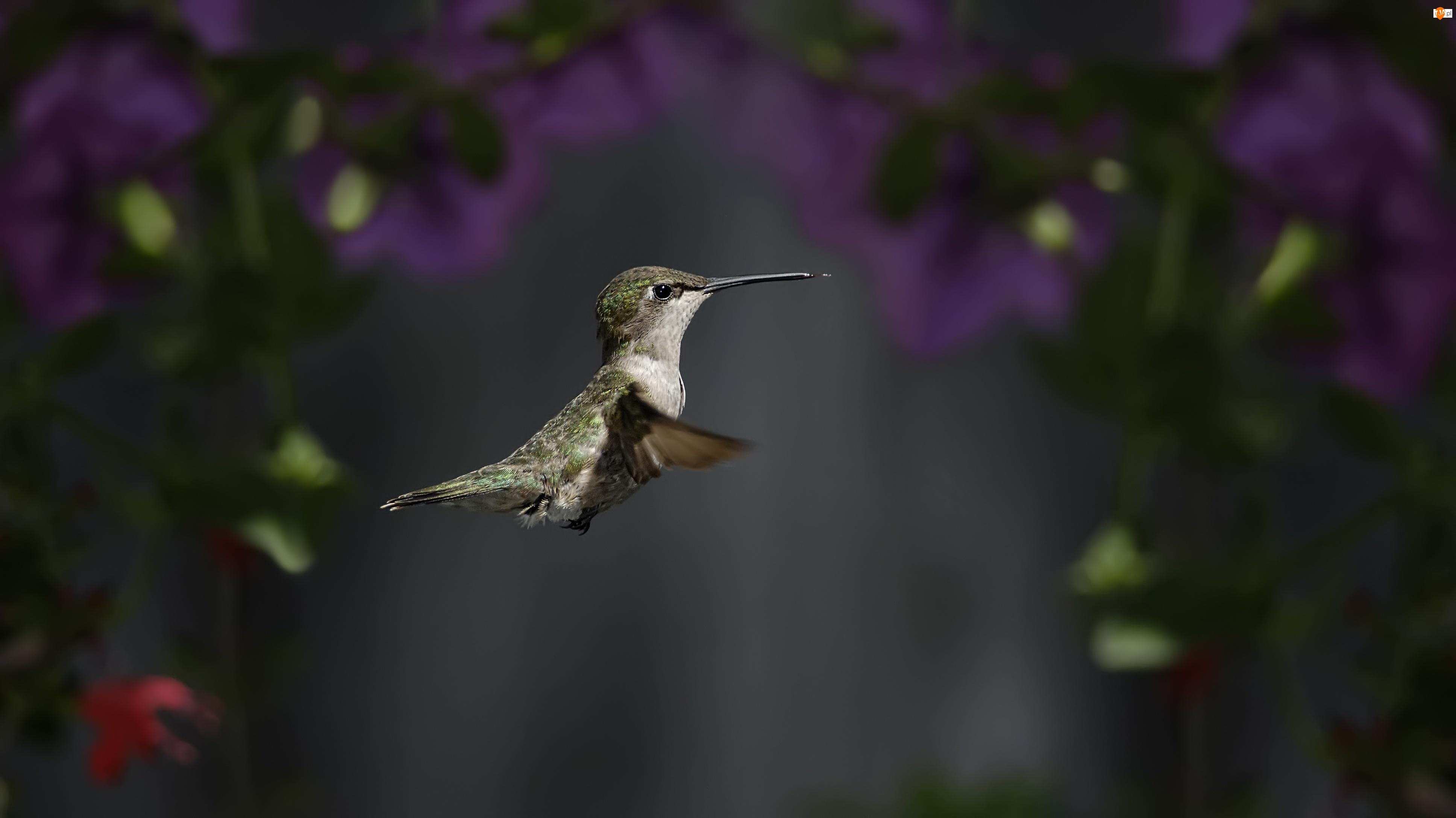 Ptak, Koliber
