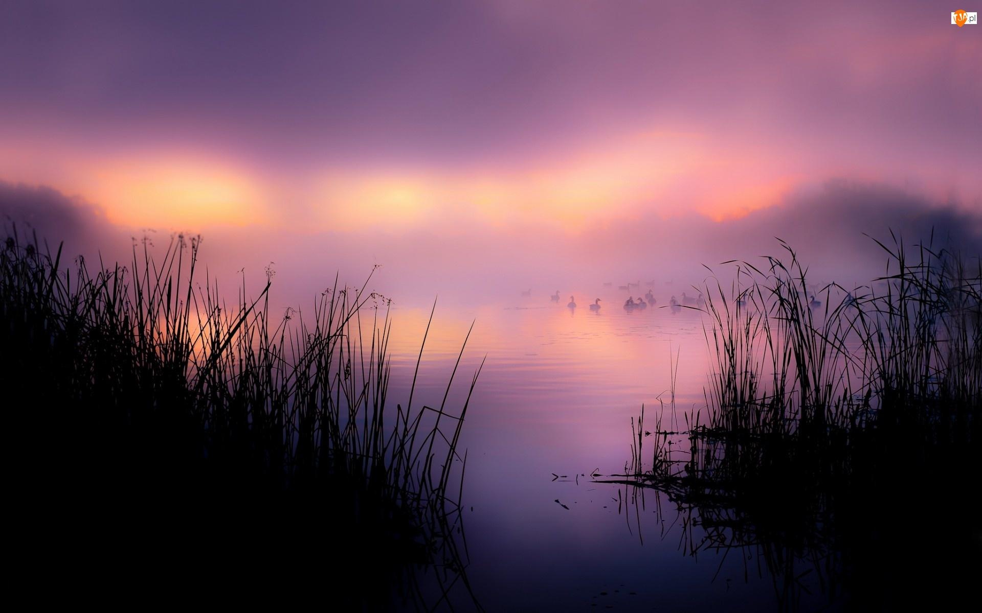 Poranek, Jezioro, Trawy, Kaczki, Mgła
