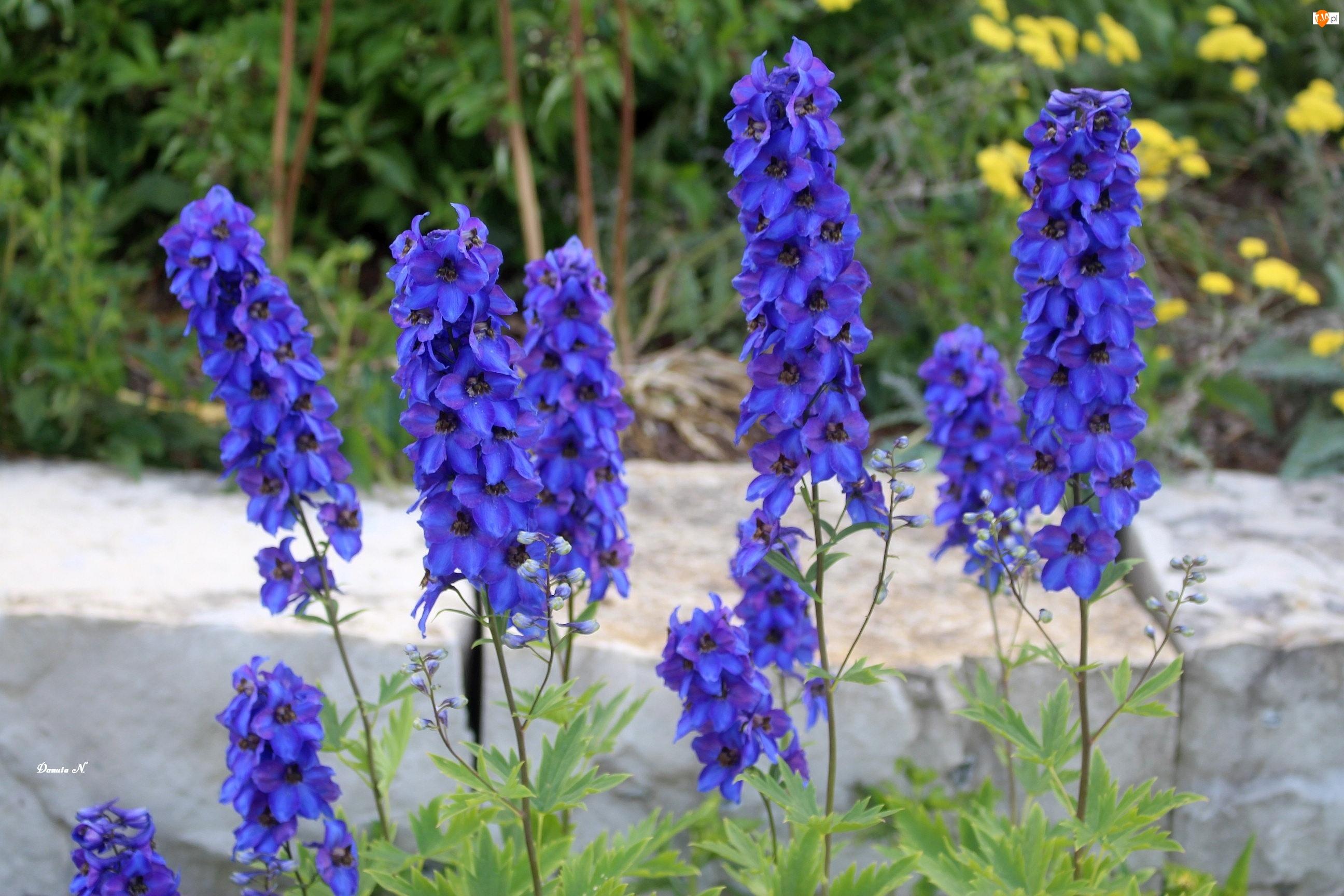 Niebieskie, Ogród, Kwiaty, Ostróżka
