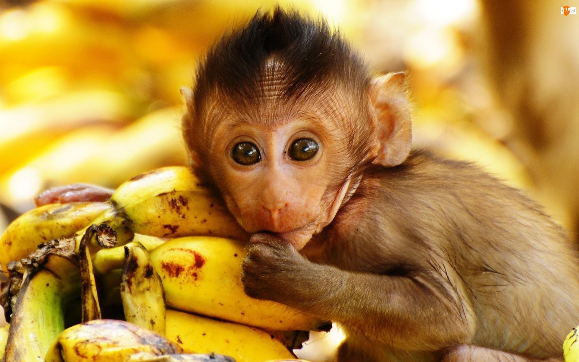 Małpka, Banany
