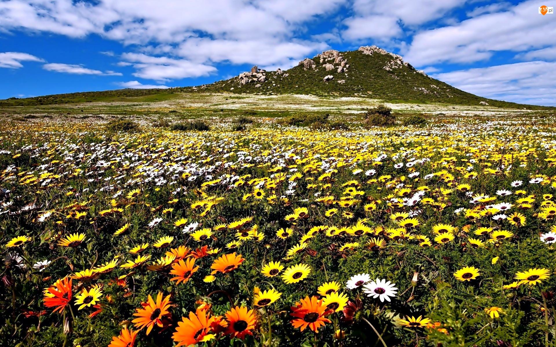Wzgórze, Wiosna, Kwiaty, Łąka