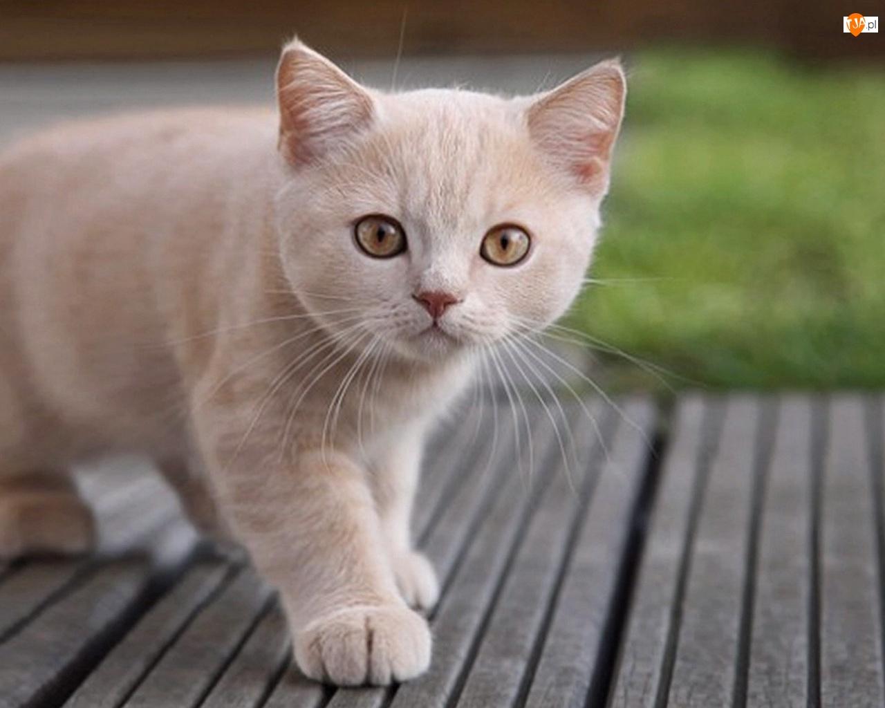 Kotek, Słodki, Biały
