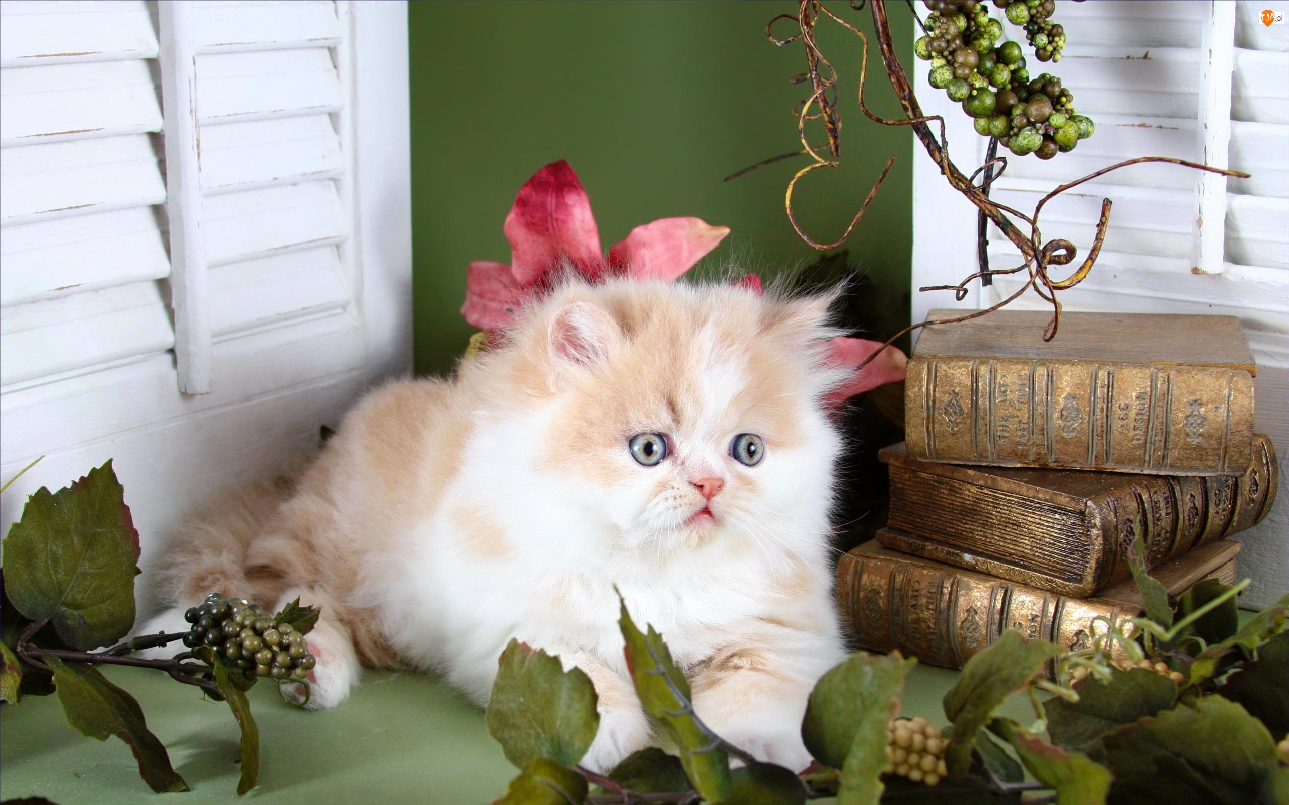 Książki, Mały, Kot perski