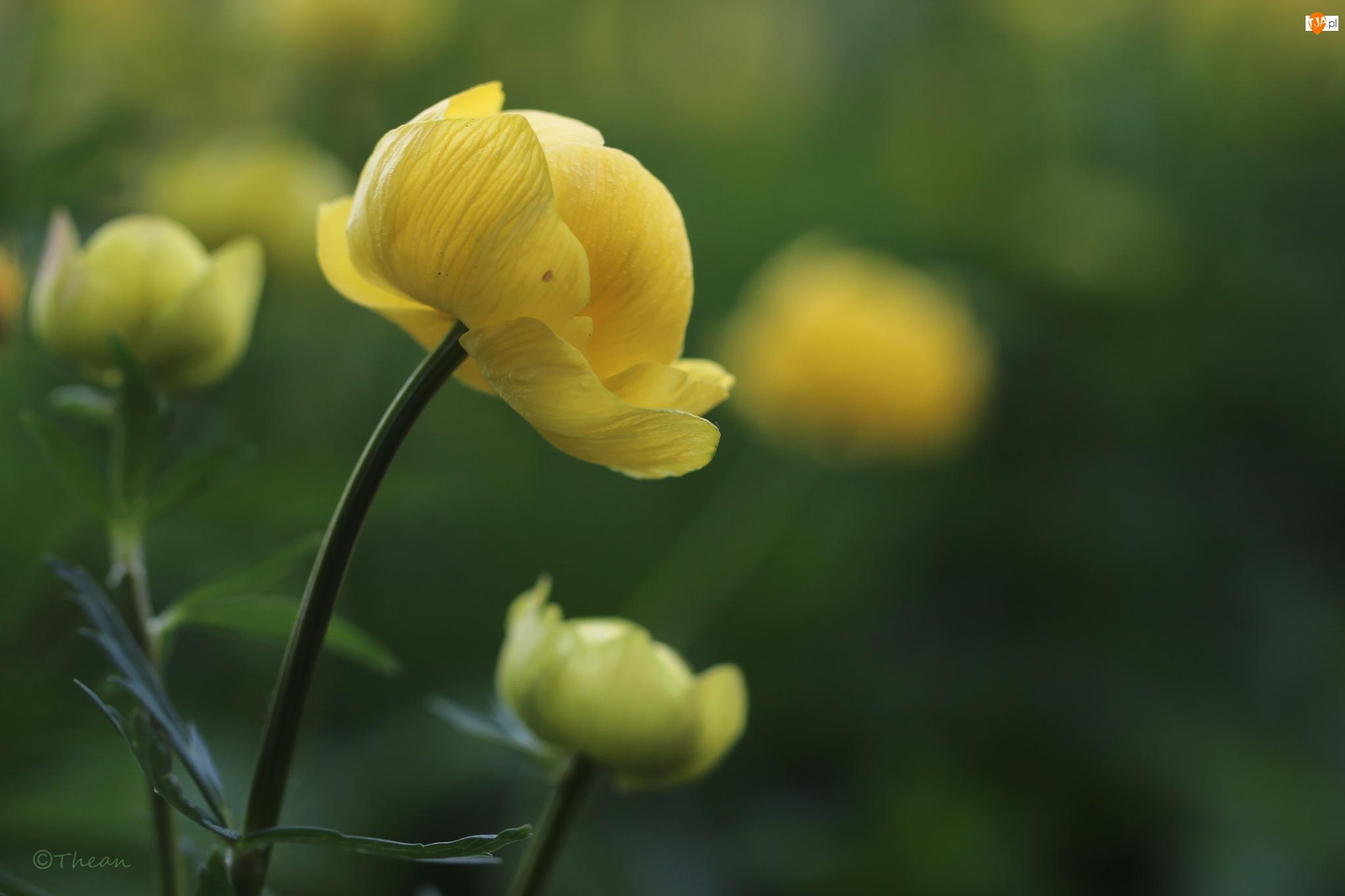 Kwiat, Kaczeniec, Żółty