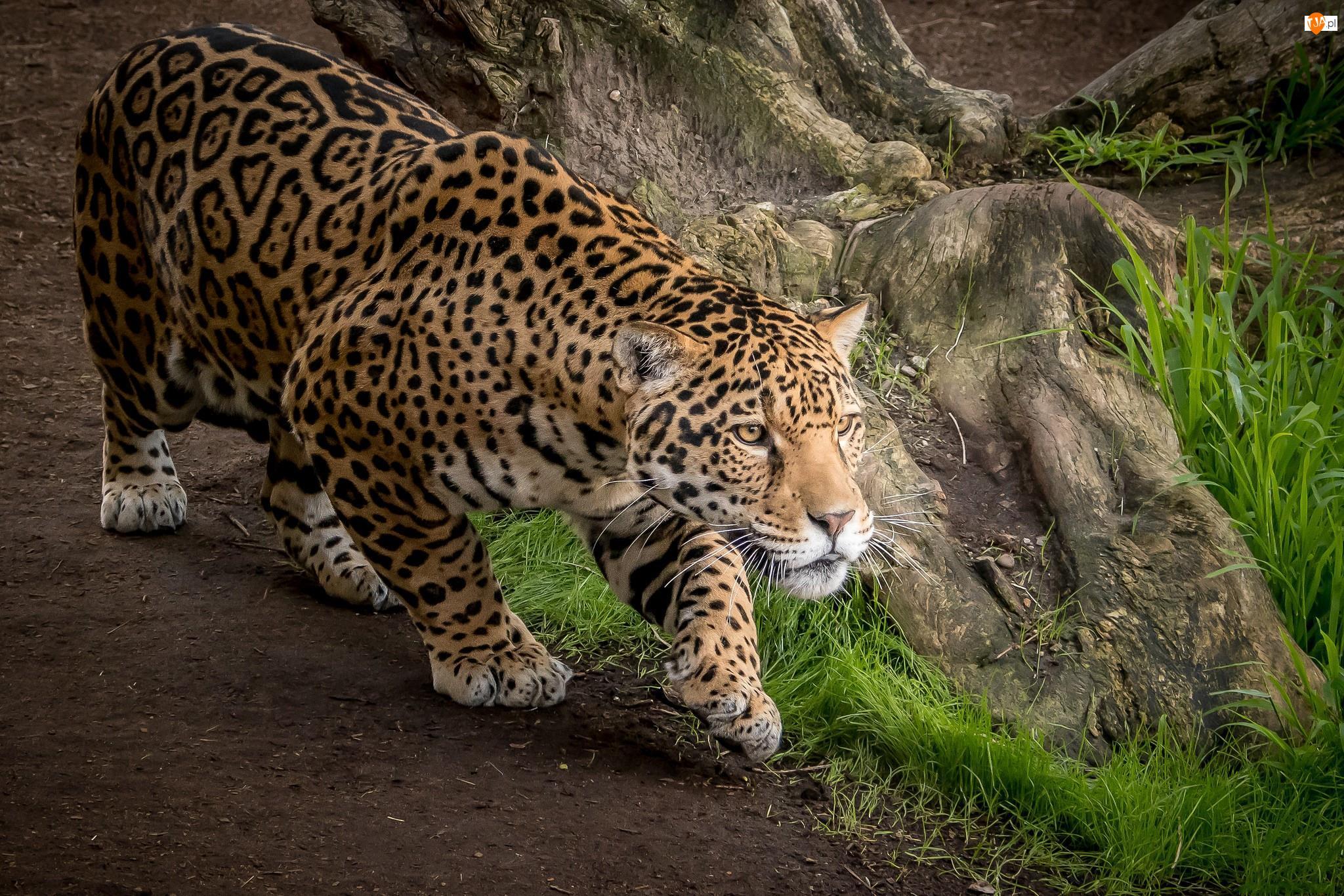 Jaguar, Ścieżka